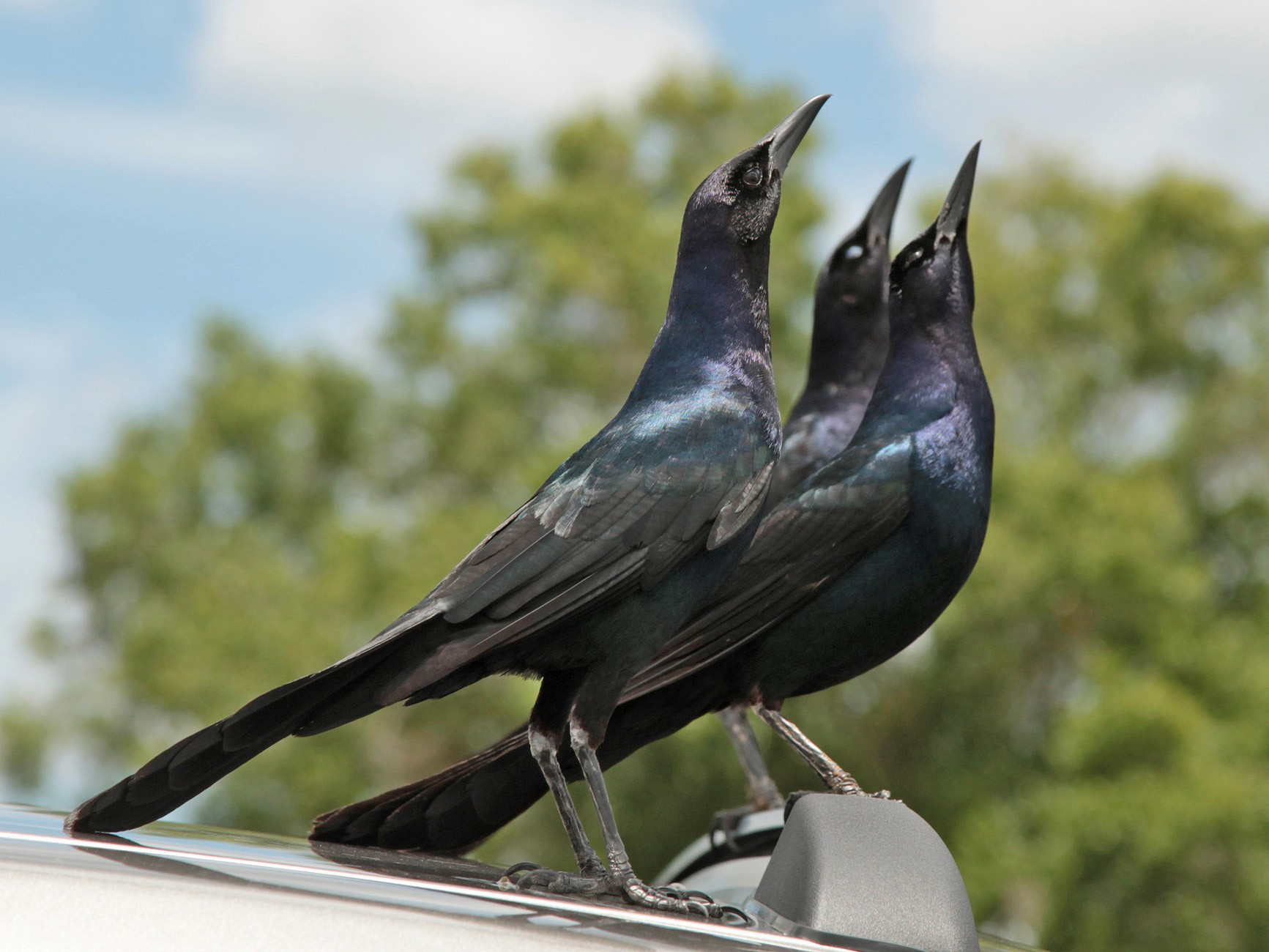 Boat-tailed Grackle - Lynden Schofield