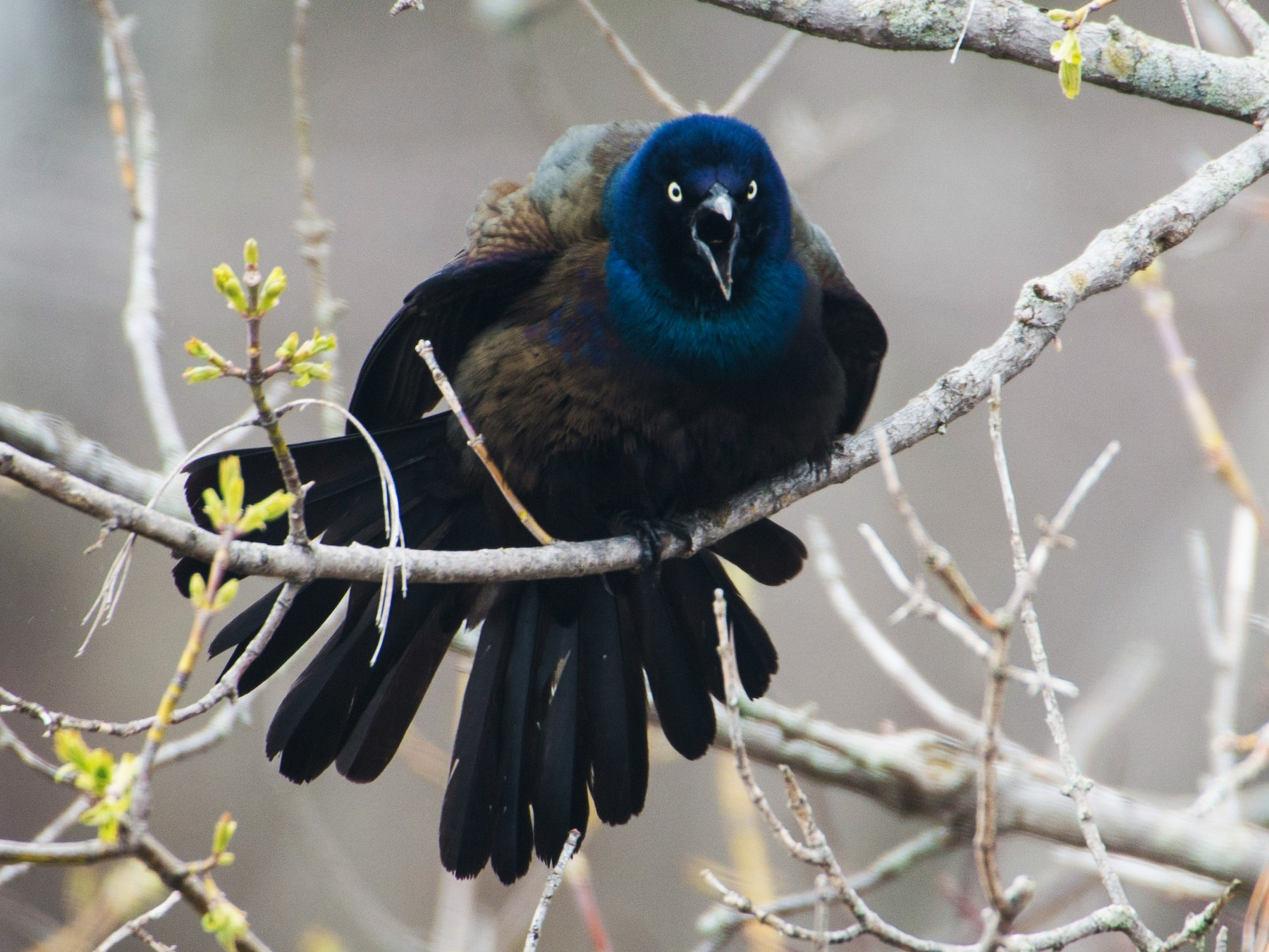 Common Grackle - Logan Parker