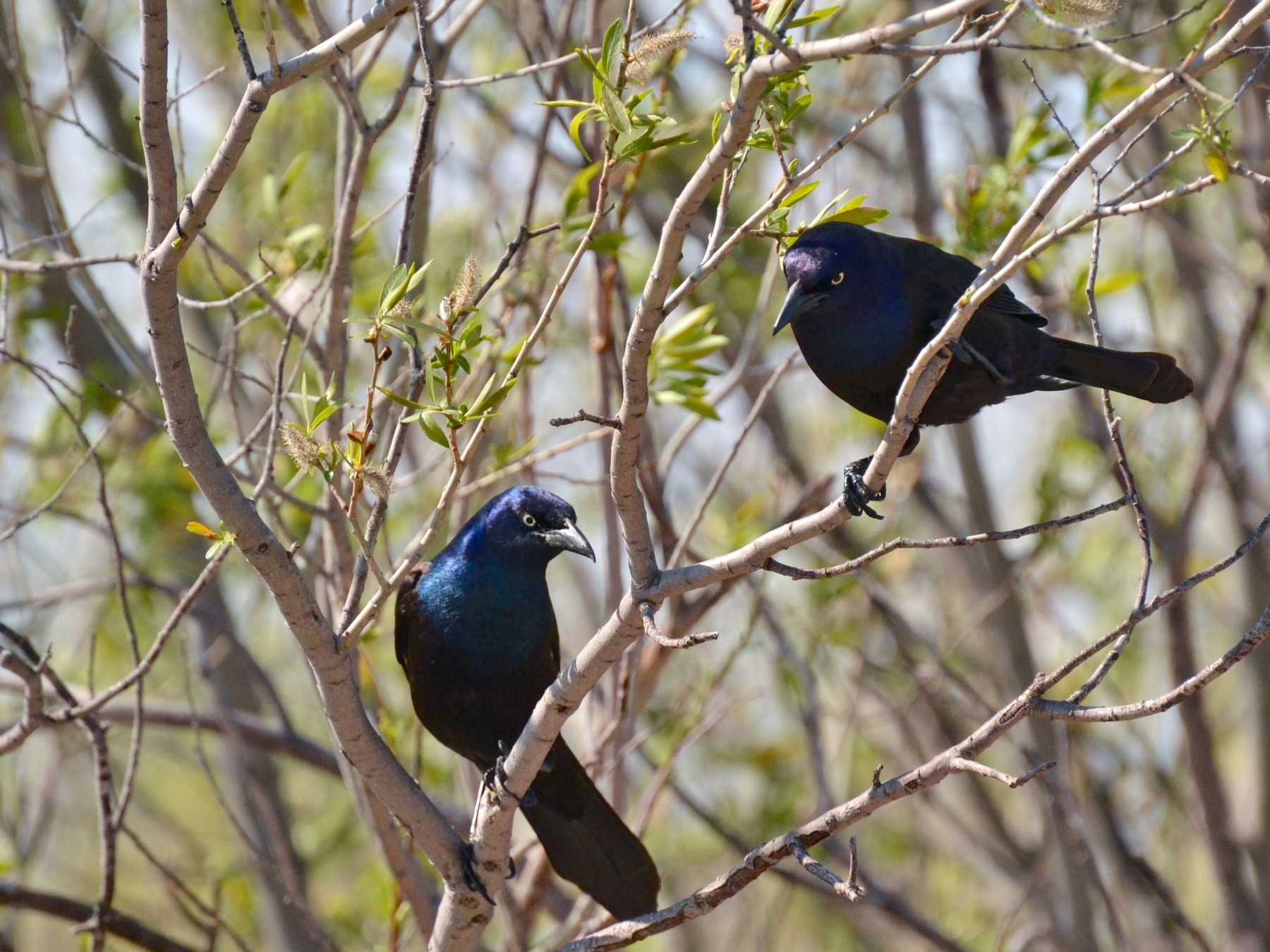 Common Grackle - Epi Shemming
