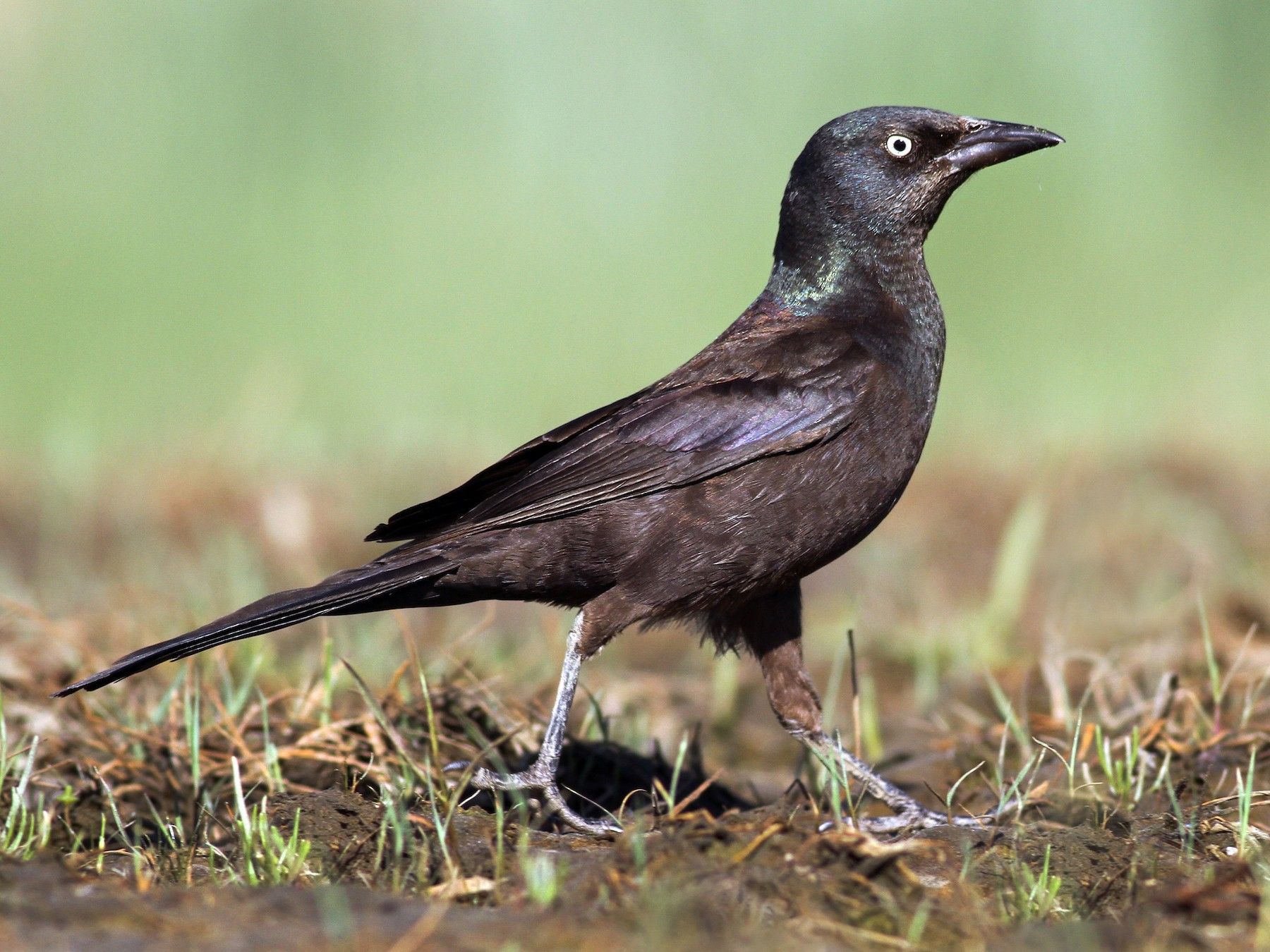 Common Grackle - Evan Lipton
