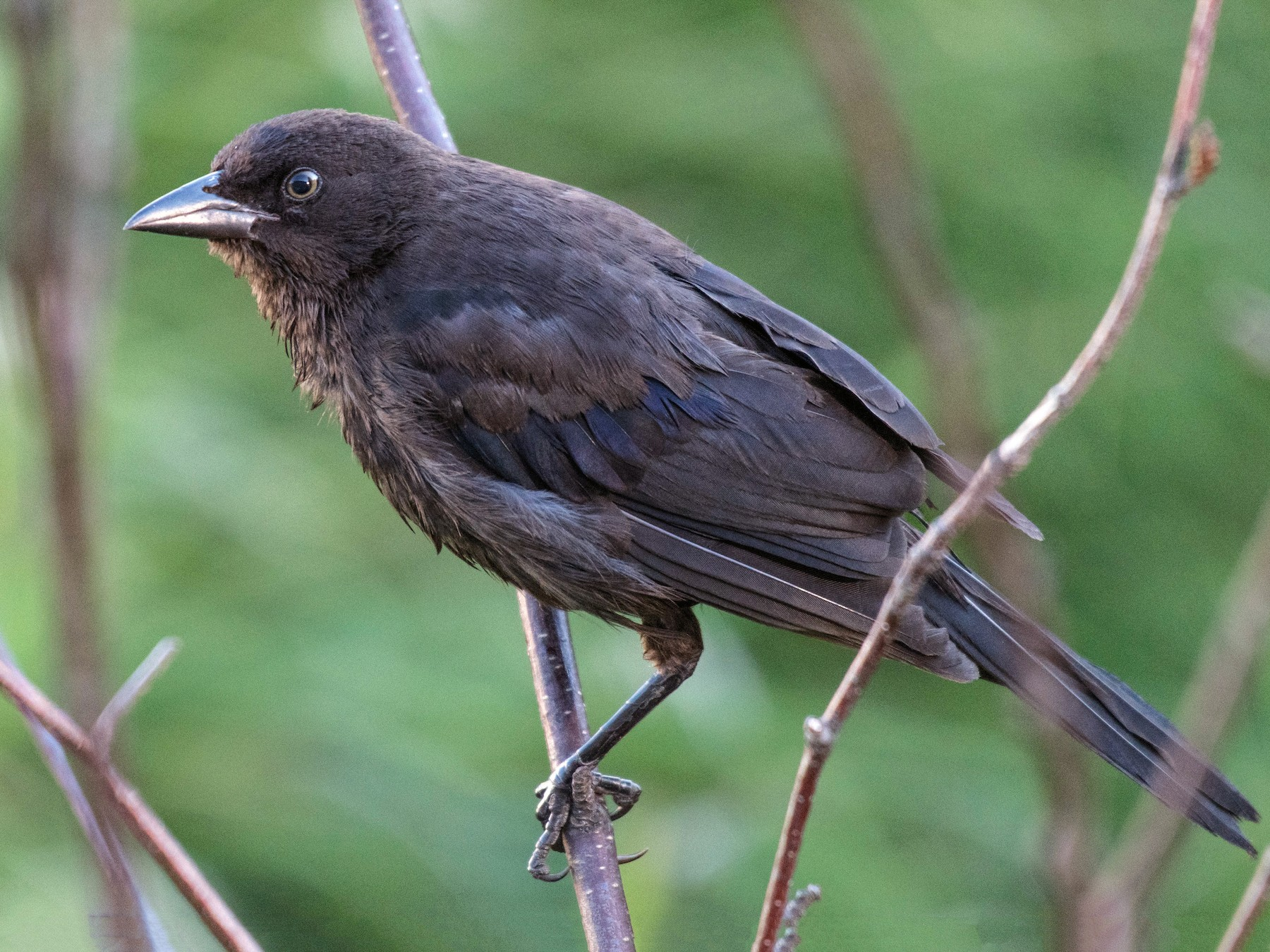 Common Grackle - Simon Boivin