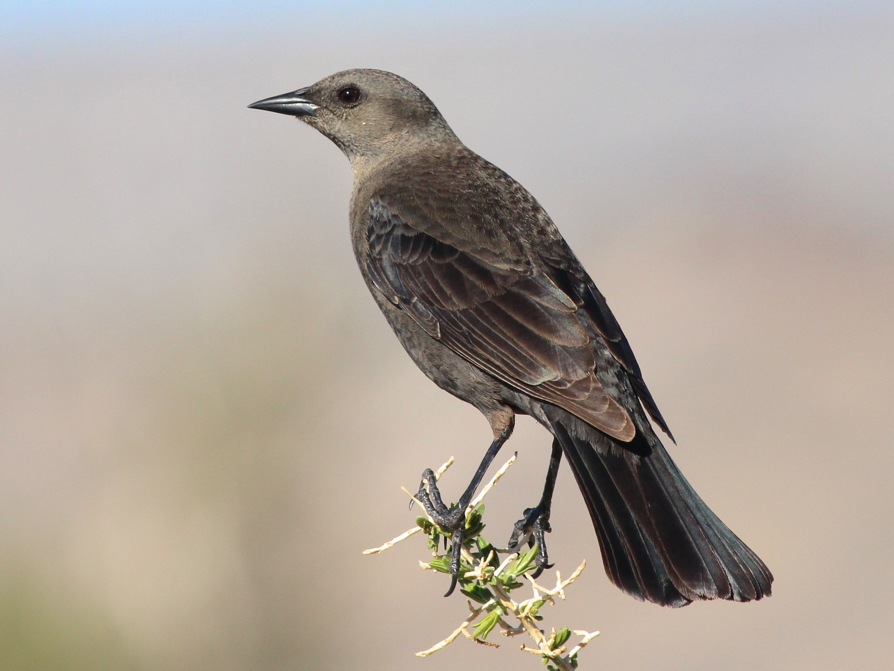 Brewer's Blackbird - Shawn Billerman