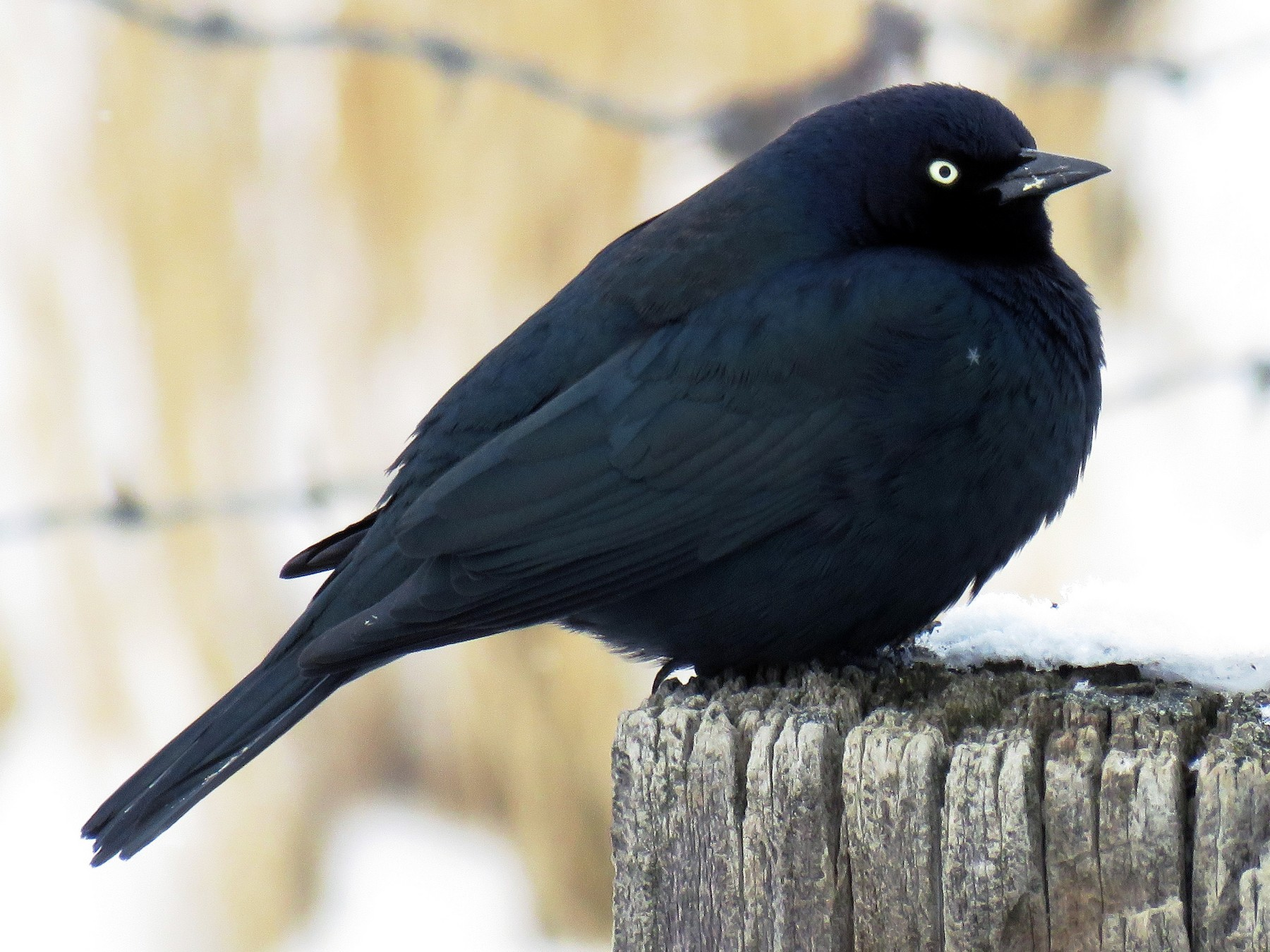 Brewer's Blackbird - Mark  Ludwick