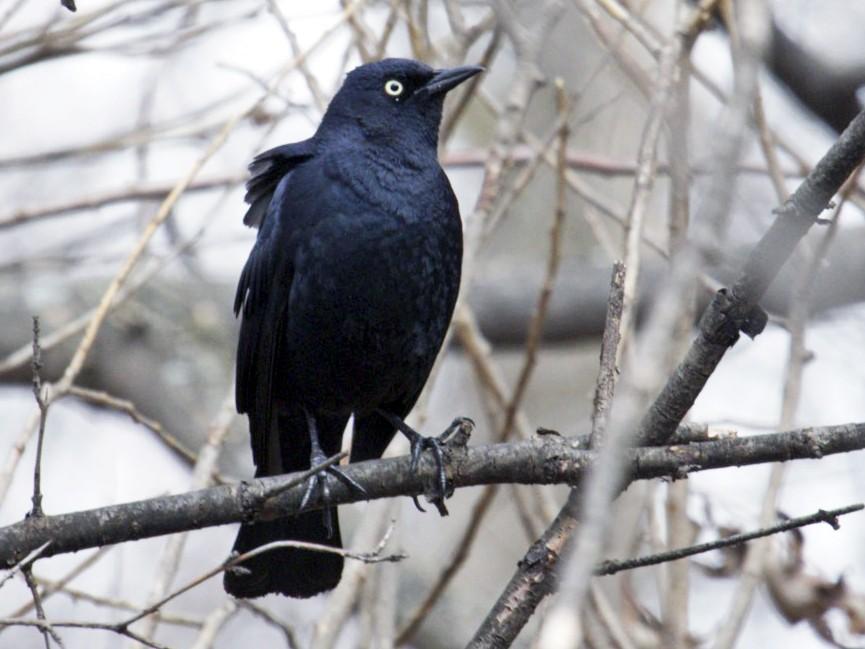 Rusty Blackbird - Michelle Martin