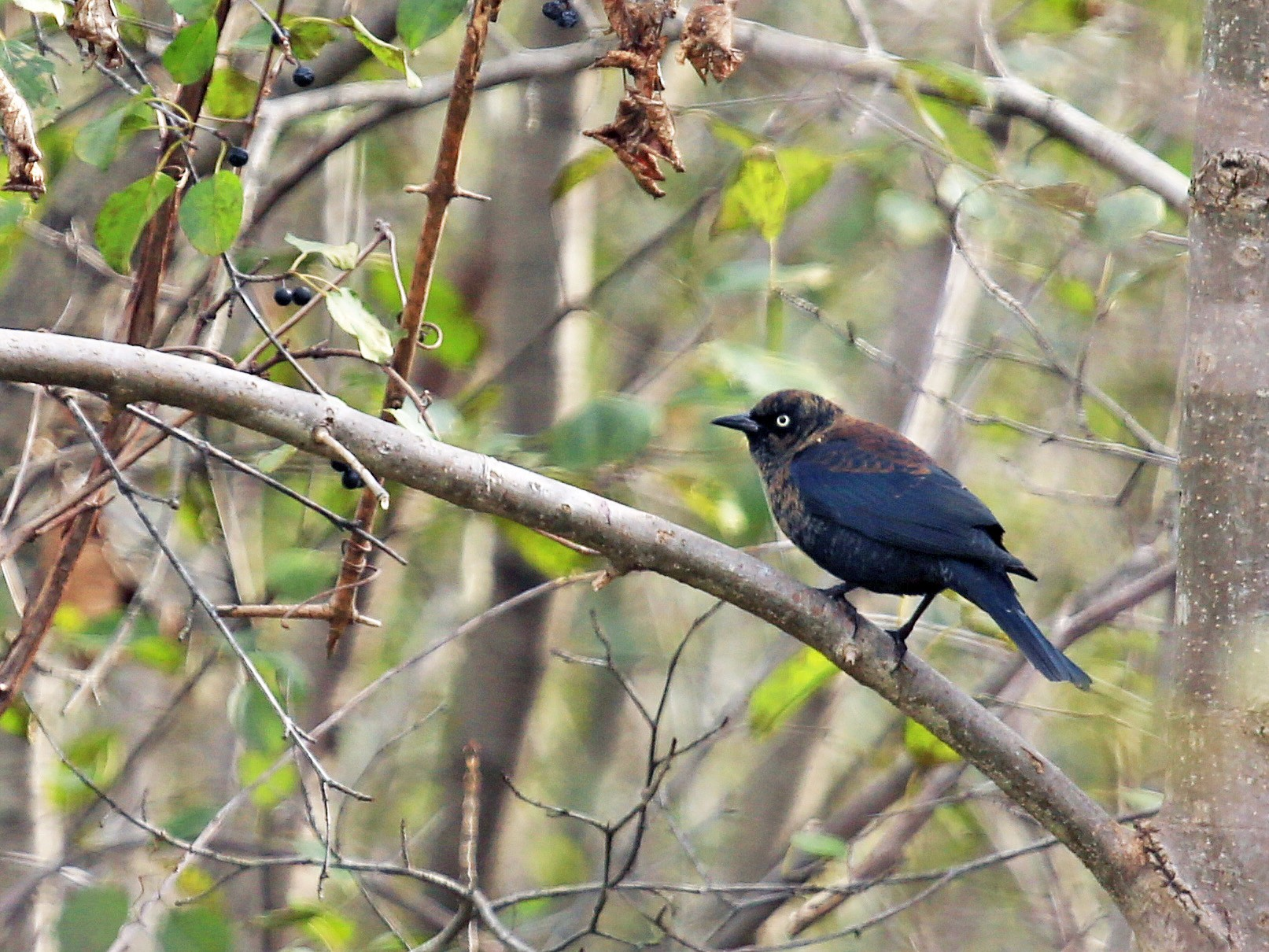 Rusty Blackbird - Tim Lenz