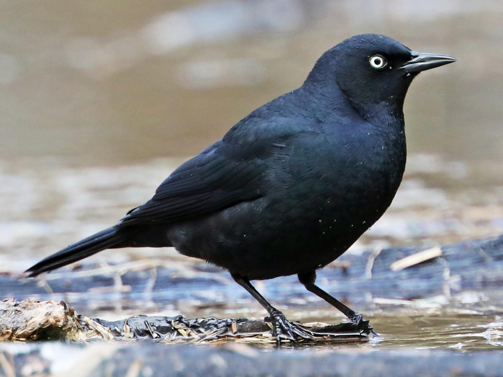 Rusty Blackbird - Daniel Jauvin