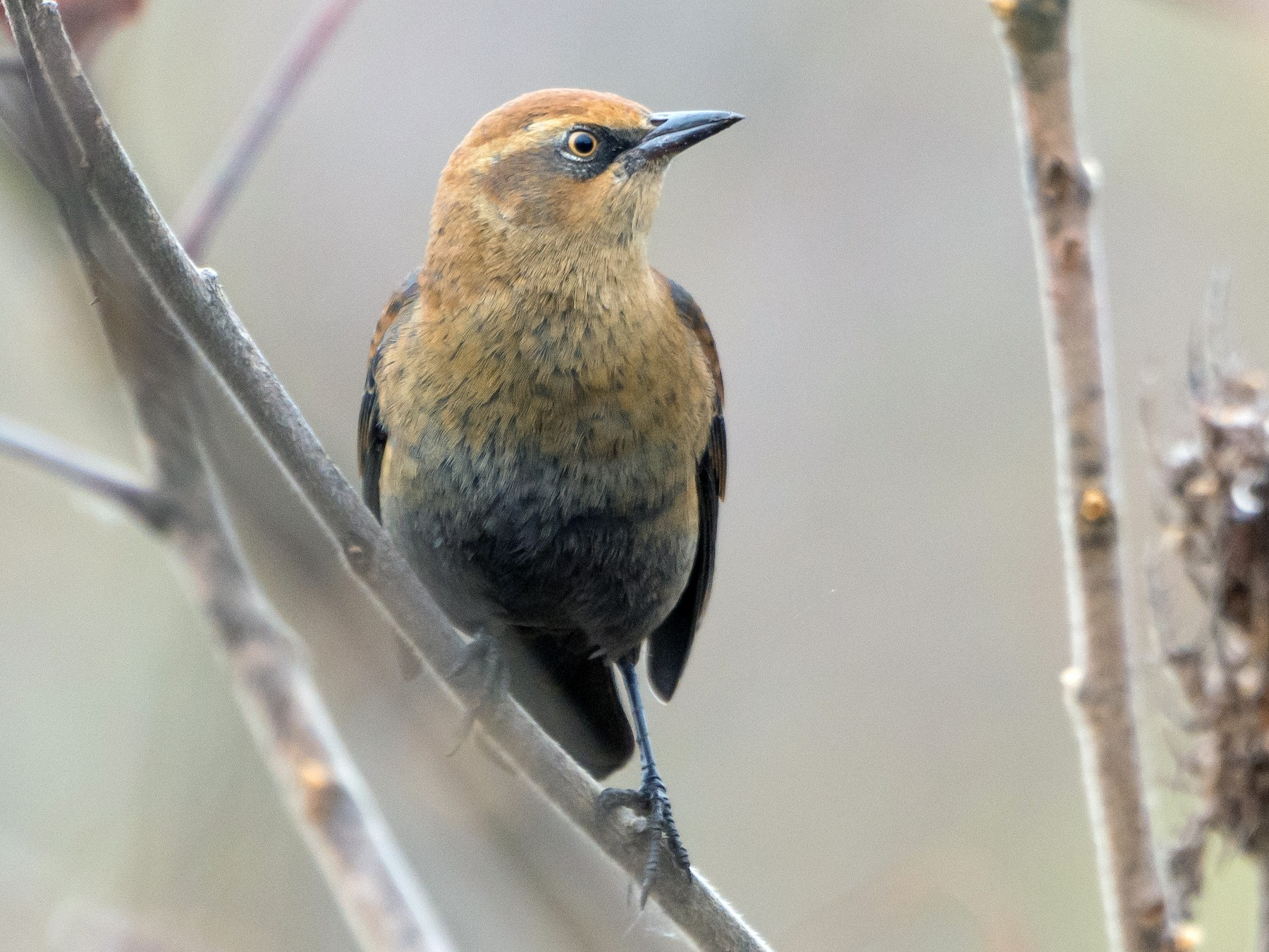 Rusty Blackbird - John Sutton