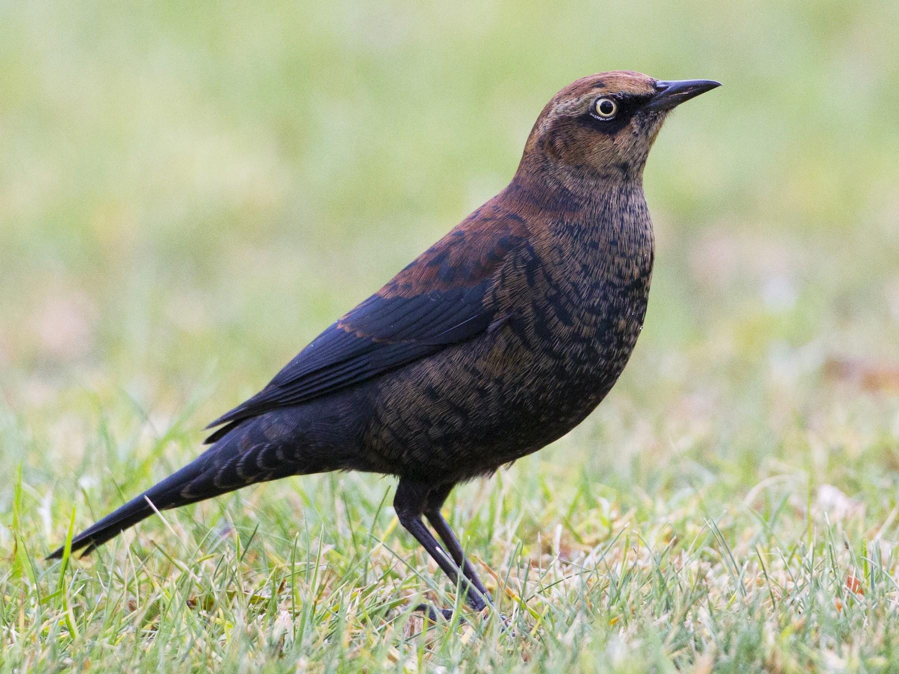 Rusty Blackbird - Brian Sullivan