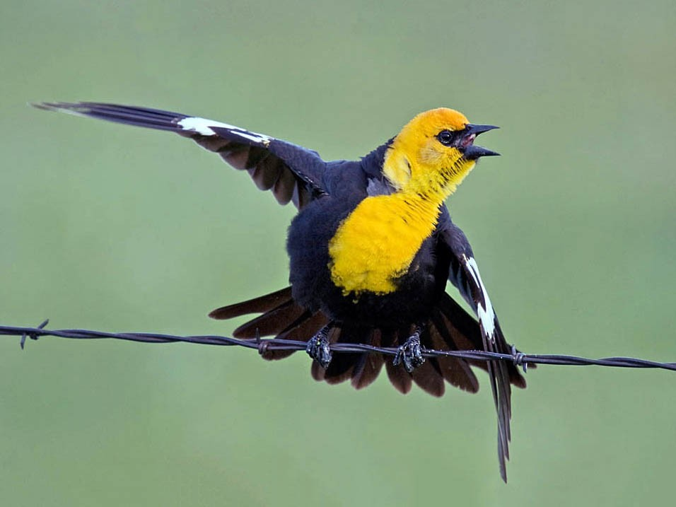 Yellow-headed Blackbird - Greg Gillson