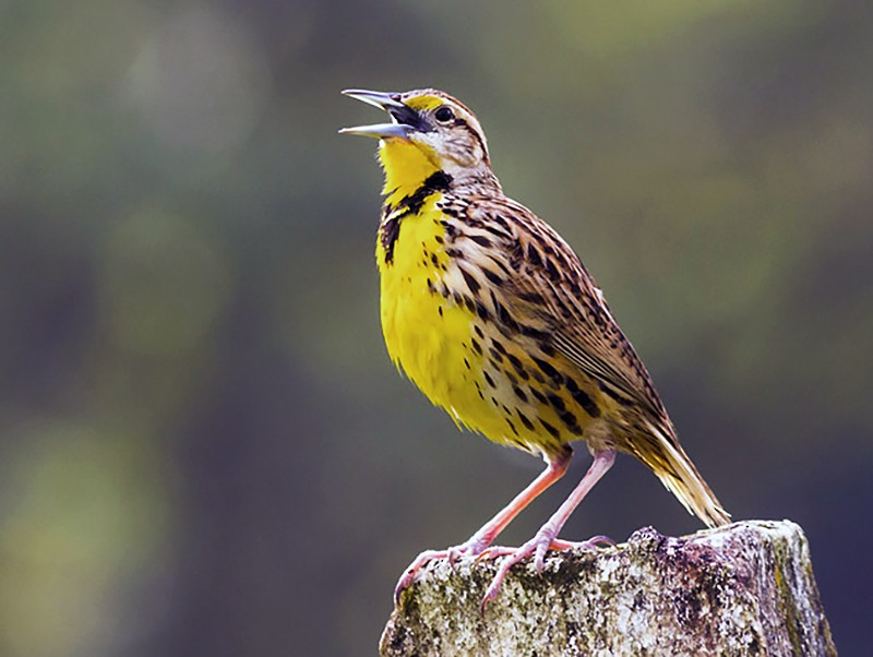 Eastern Meadowlark - Yeray Seminario