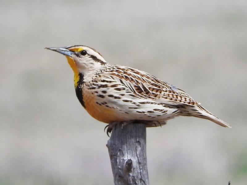 Eastern Meadowlark - Walt Anderson