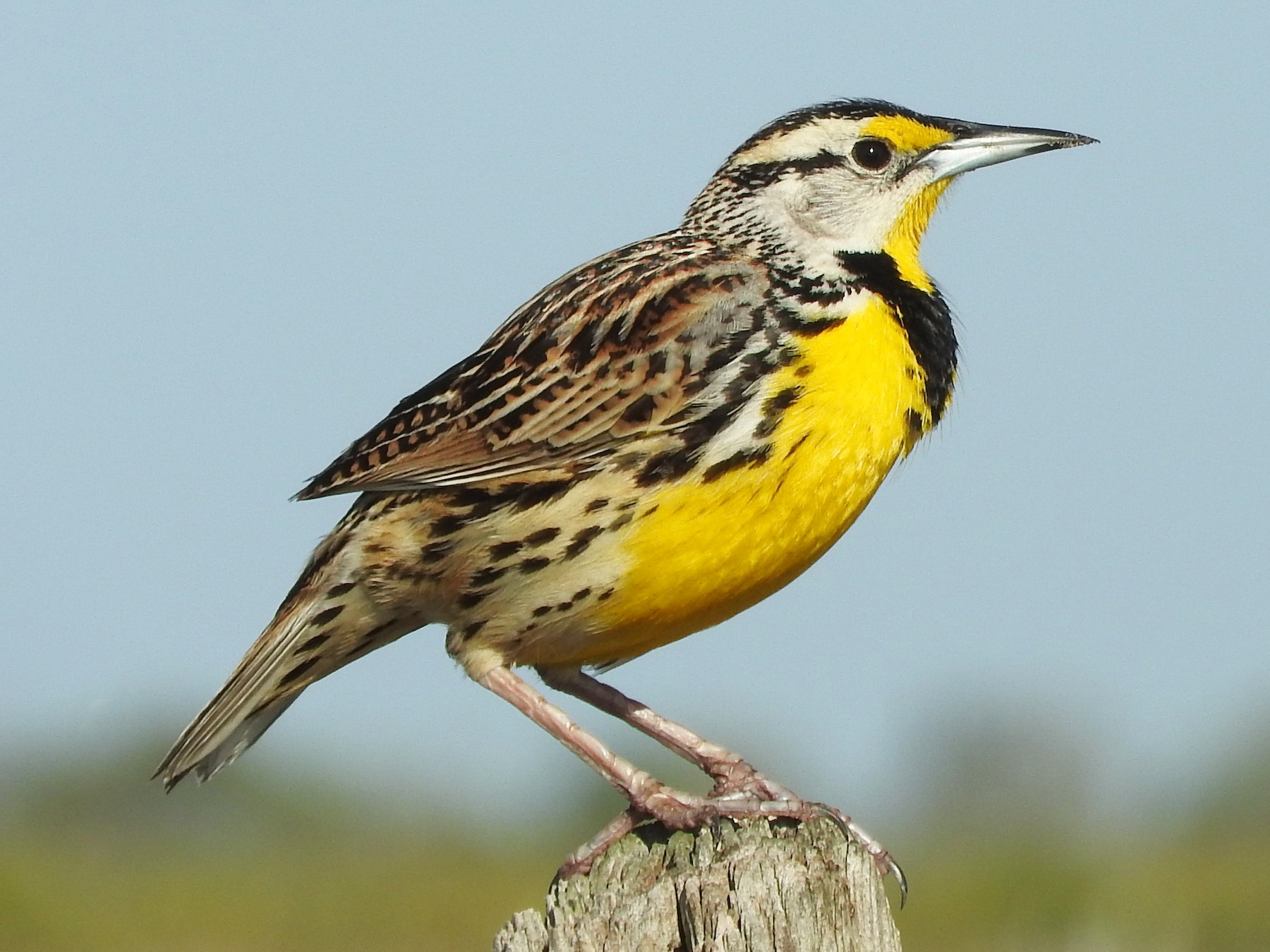 Eastern Meadowlark - Doris Brookens