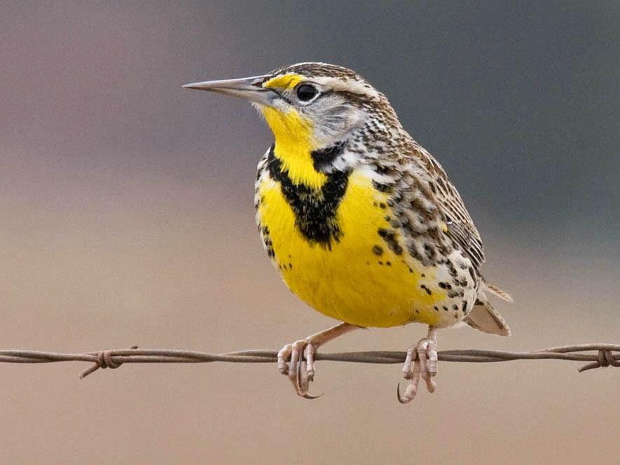 Western Meadowlark - Greg Gillson