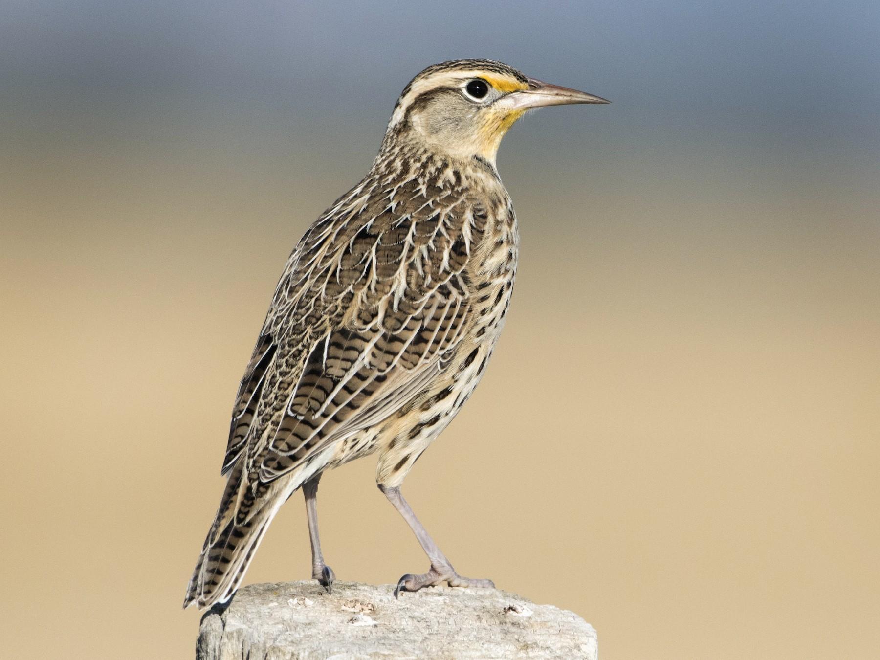 Western Meadowlark - Brian Sullivan