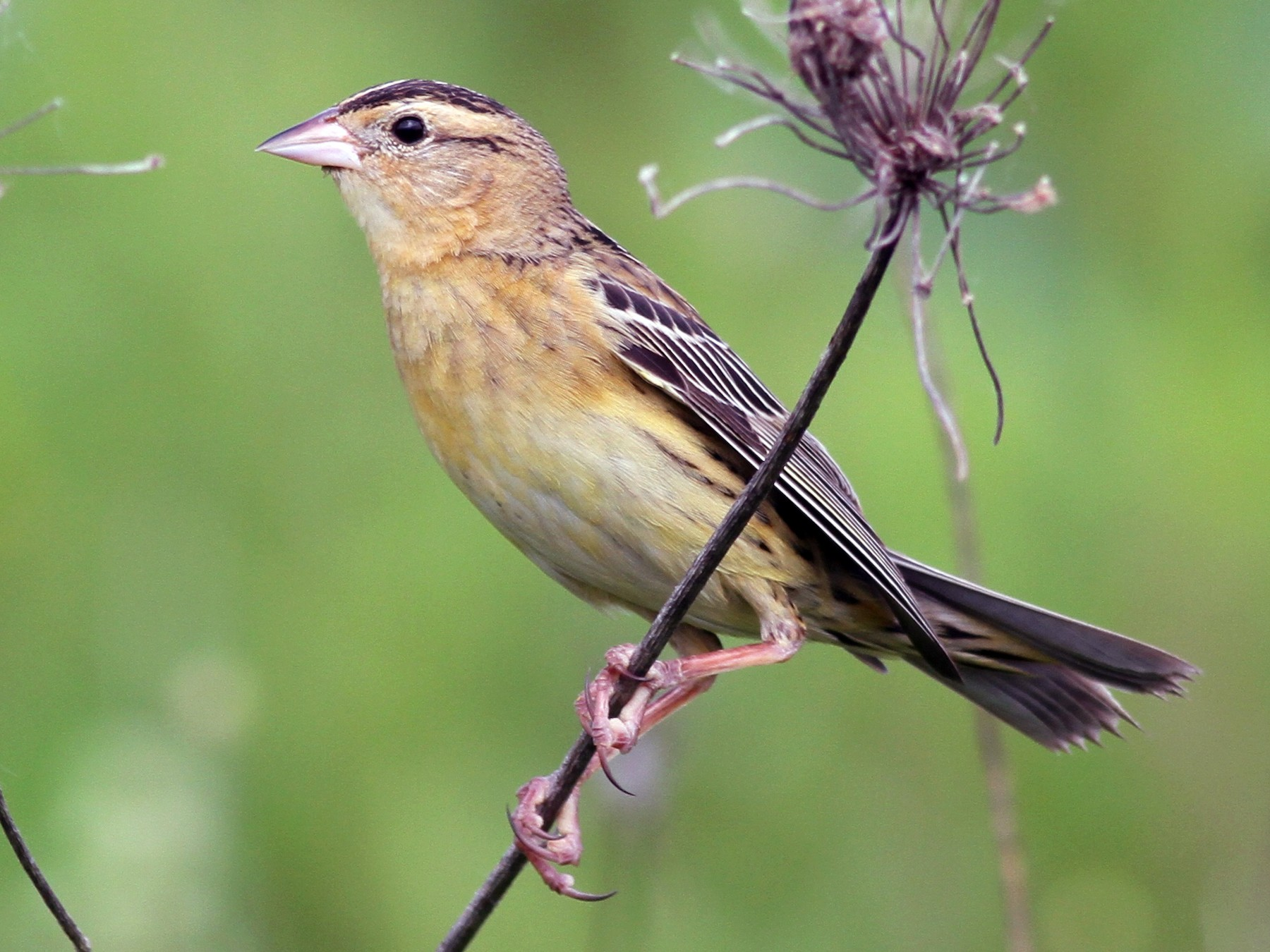 Bobolink - Shawn Billerman