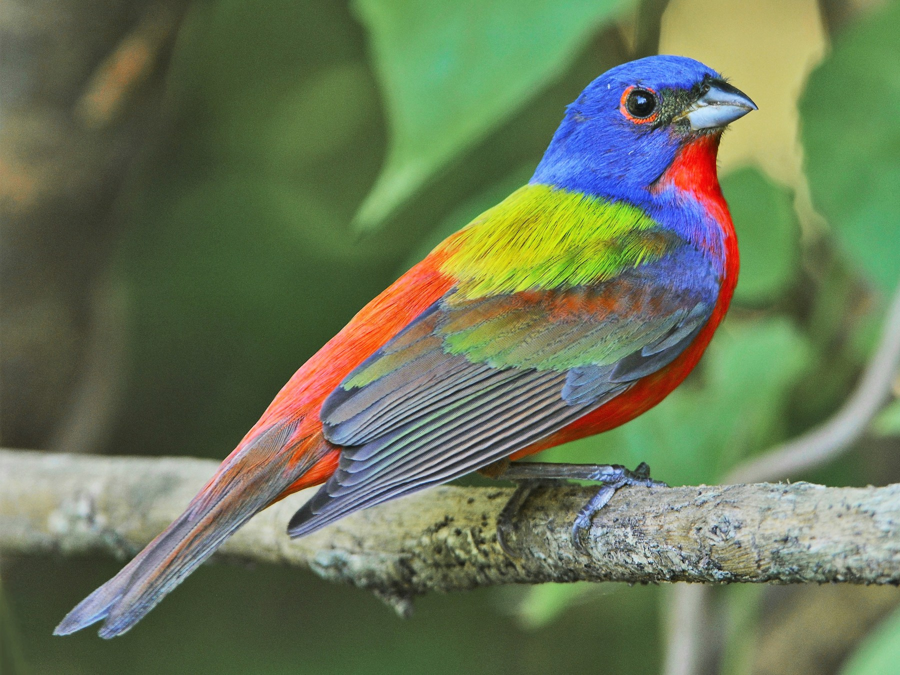 Painted Bunting - David Hollie