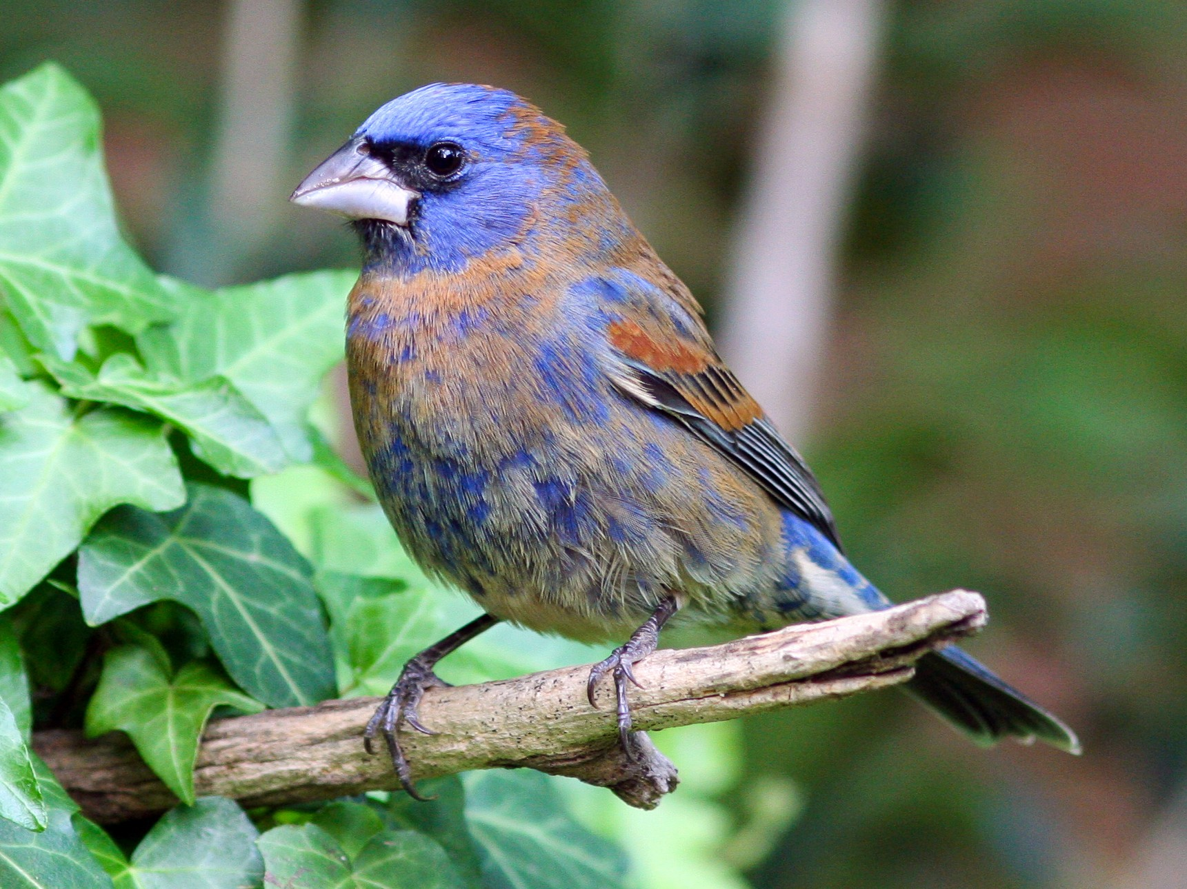Blue Grosbeak - David Disher