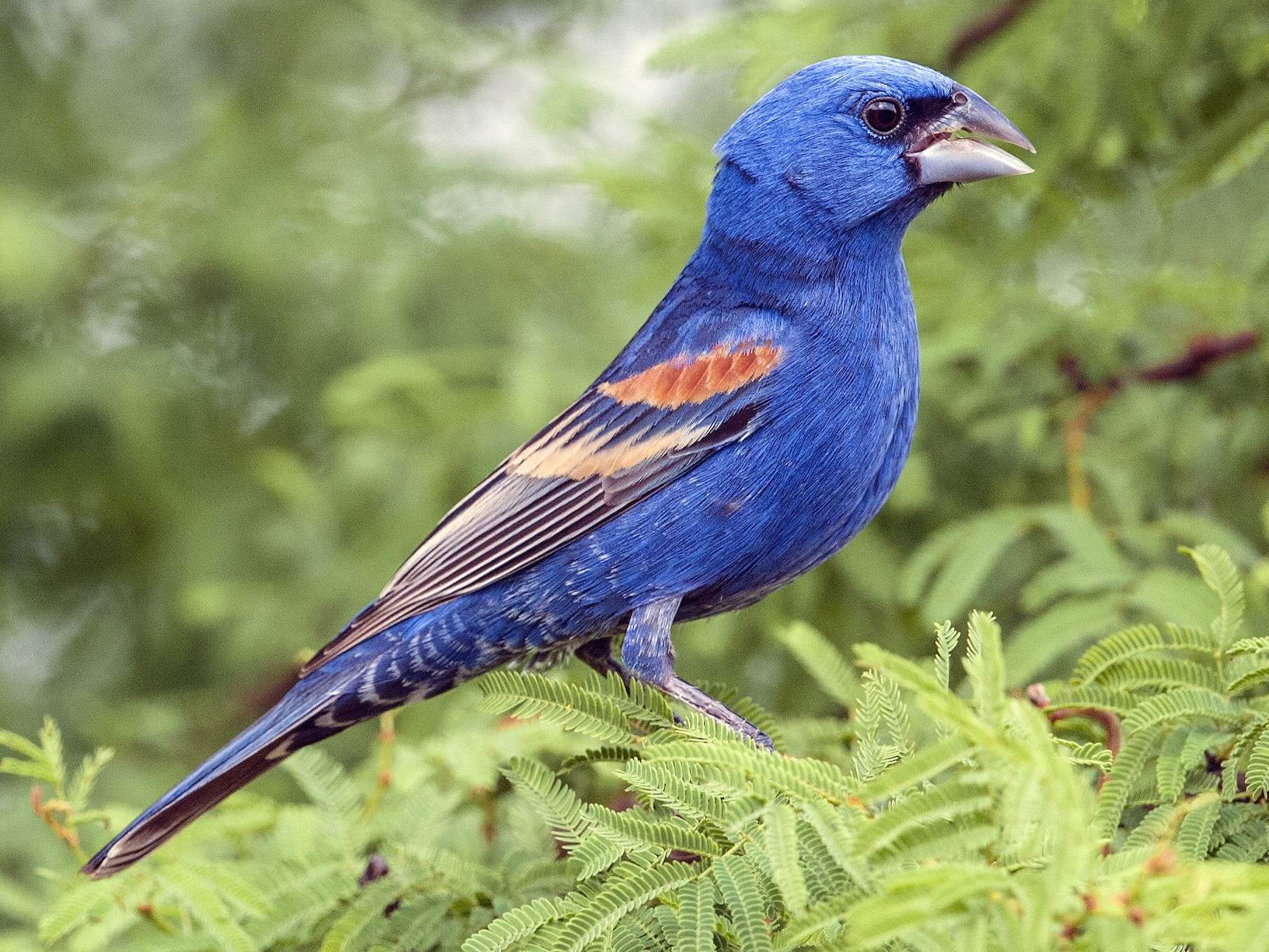 Blue Grosbeak - Cliff Peterson
