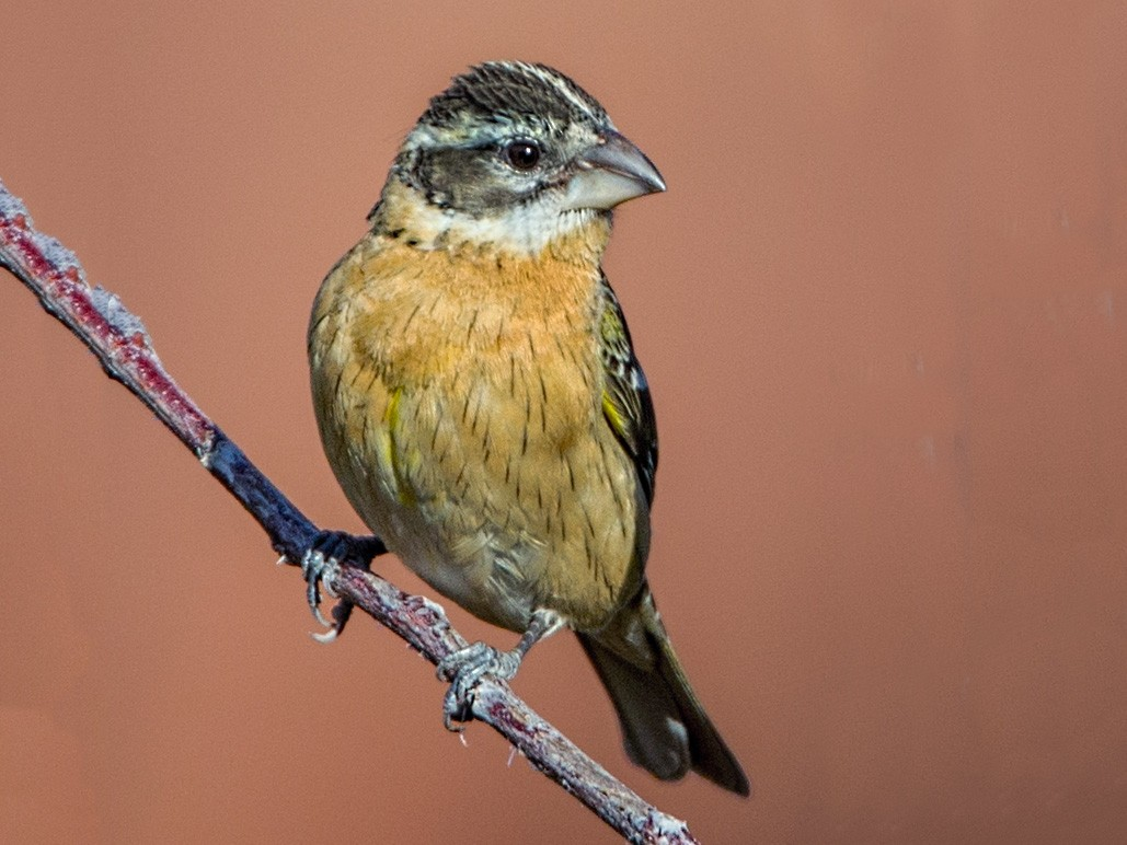 Black-headed Grosbeak - Eric Gofreed