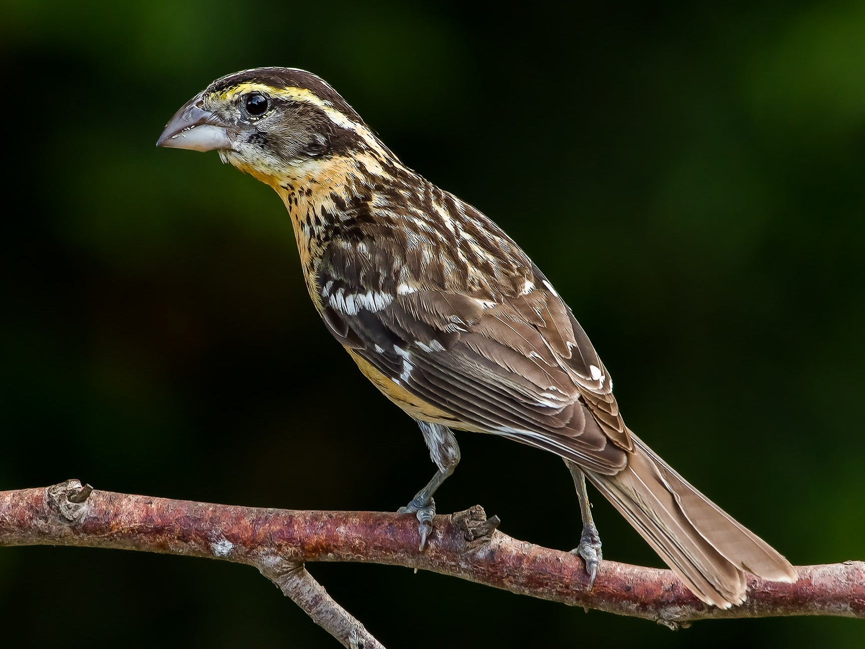 Black-headed Grosbeak - Eric Ellingson