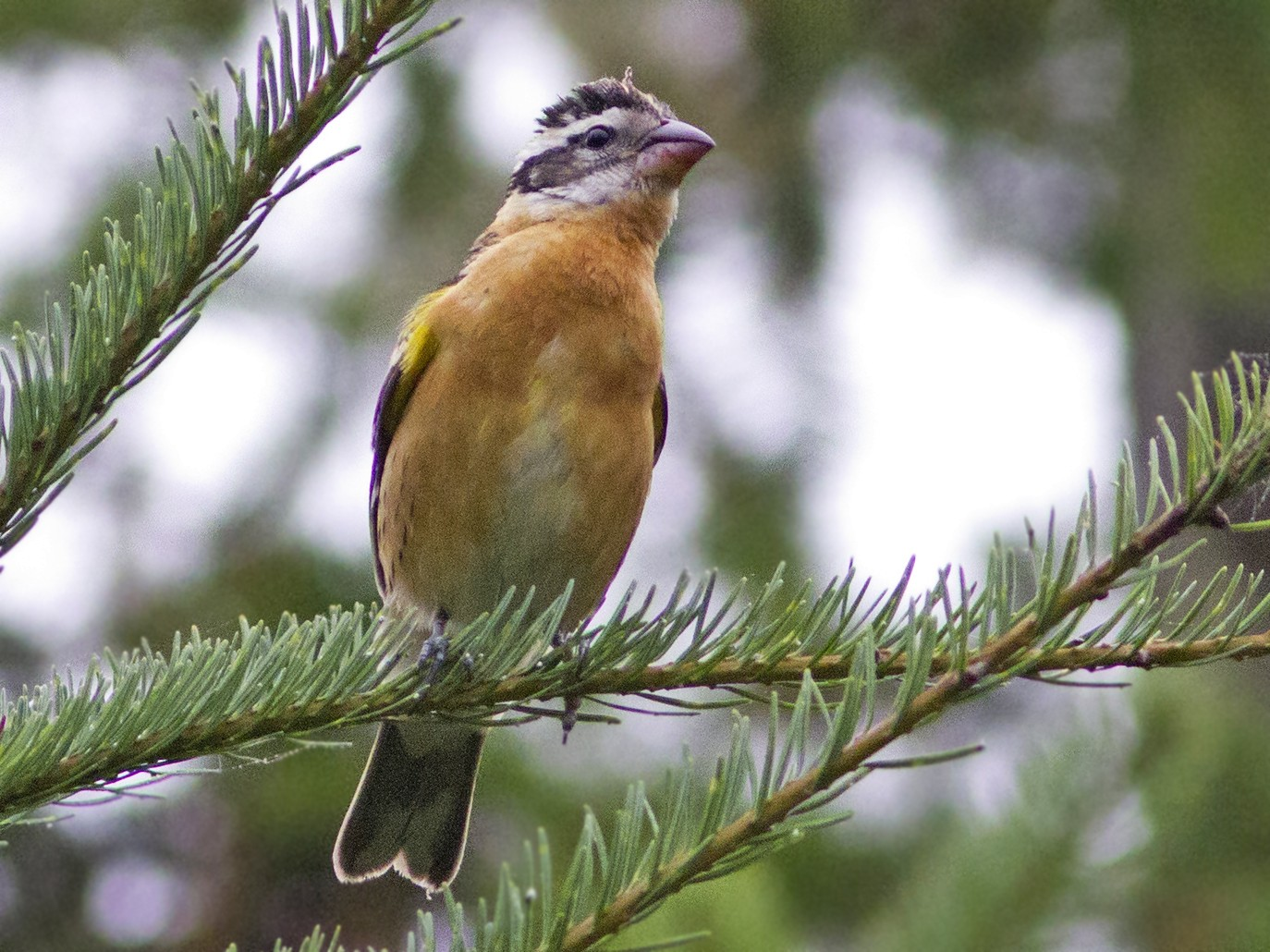 Black-headed Grosbeak - Richard Bunn
