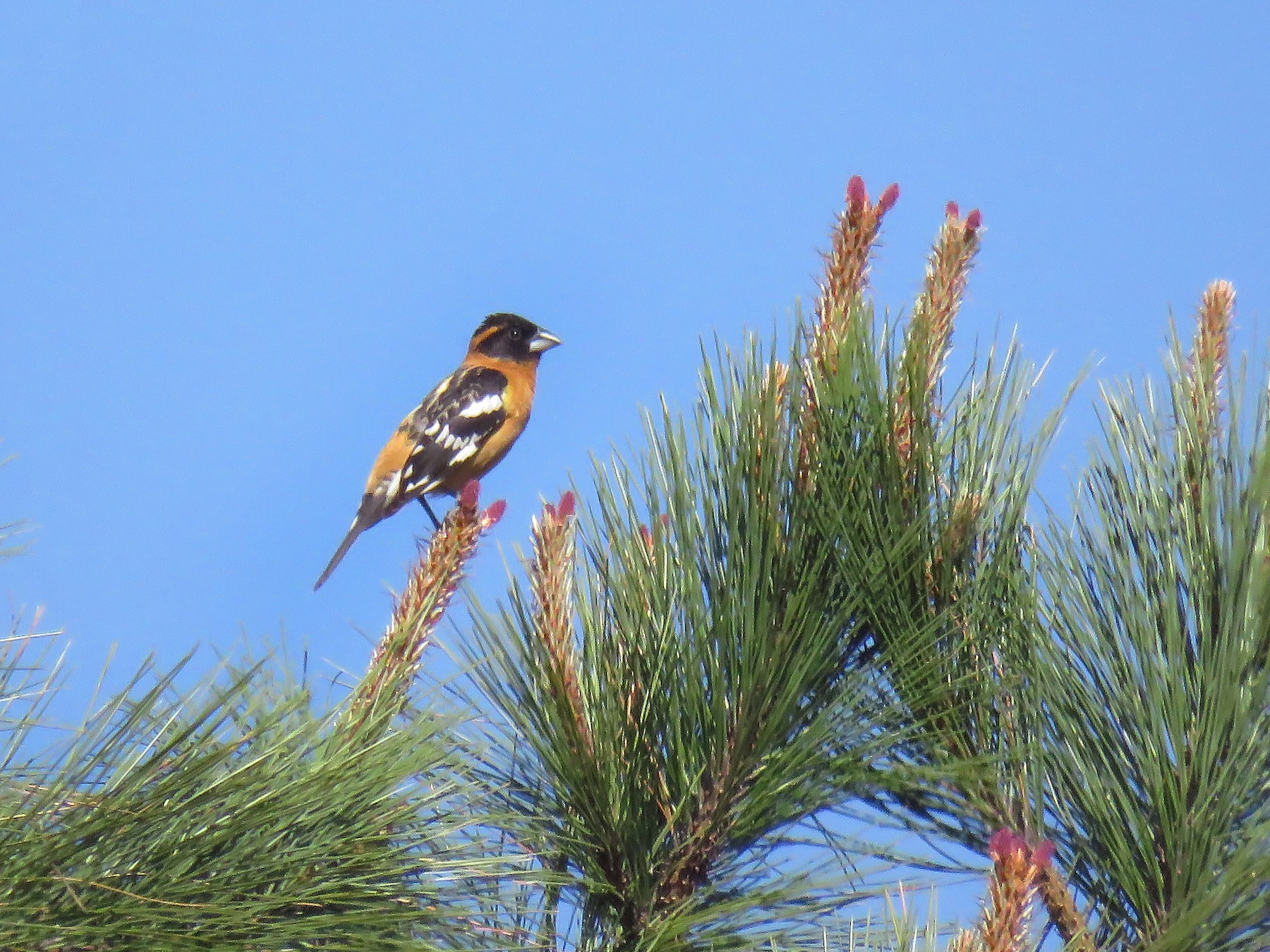 Black-headed Grosbeak - Curtis Mahon