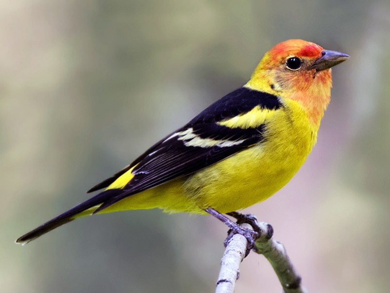 Western Tanager - Nick Saunders