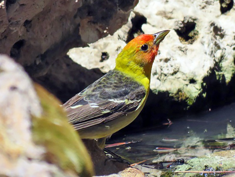 Western Tanager - Troy Corman