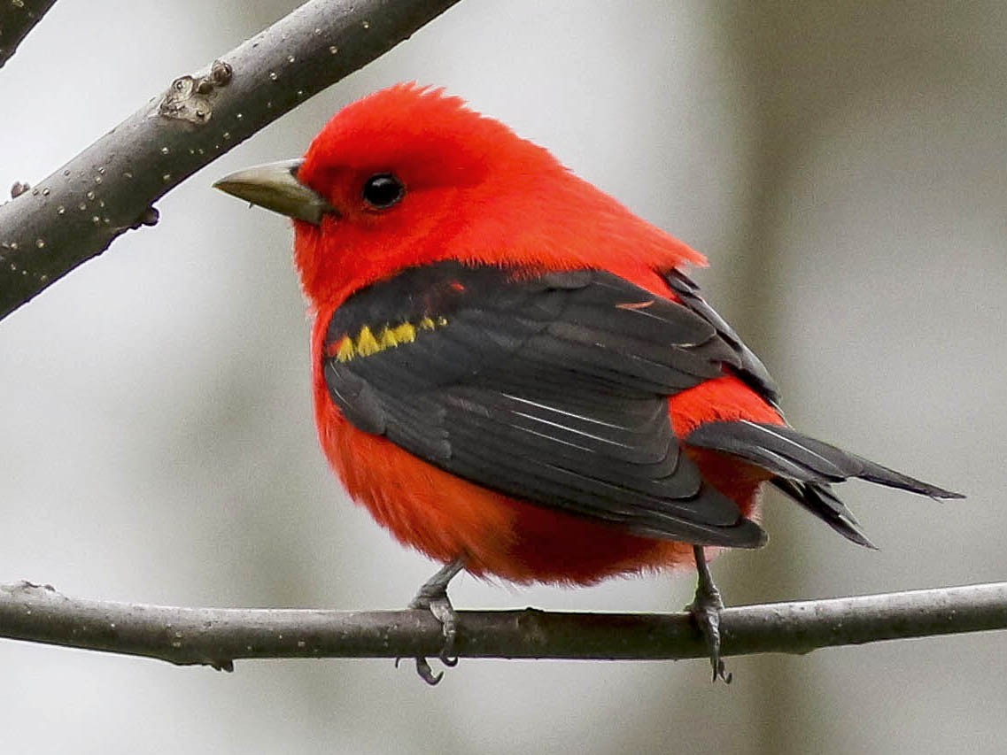 Scarlet Tanager - Charmaine Anderson