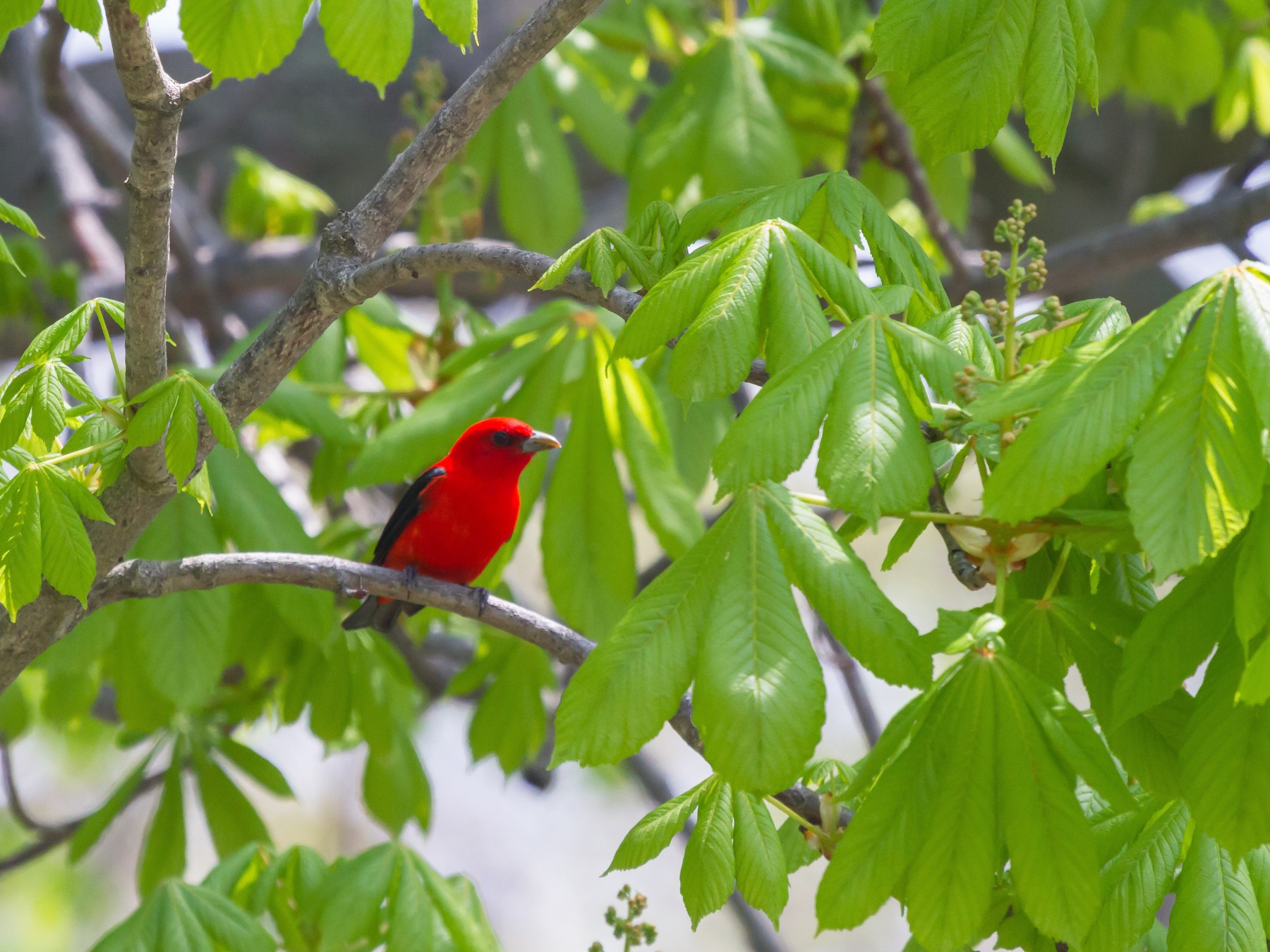 Scarlet Tanager - Griffin Richards