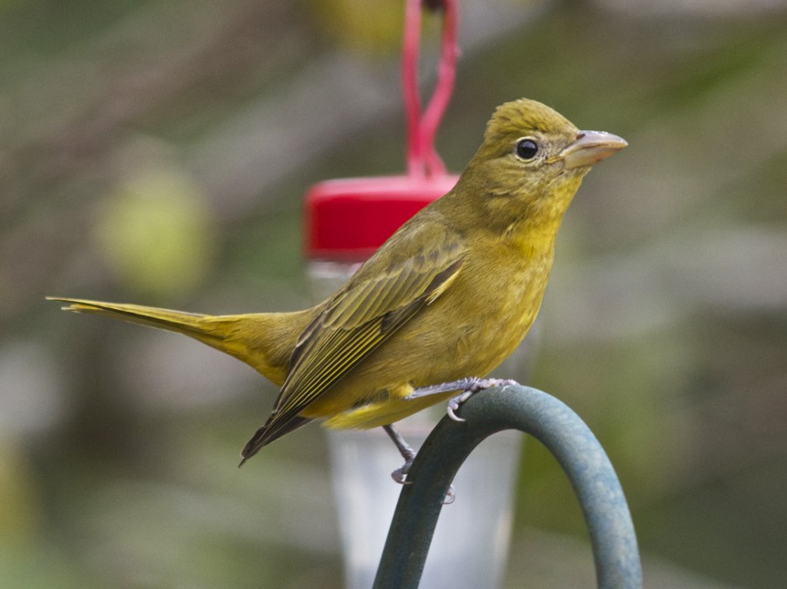 Summer Tanager - Janice Neitzel