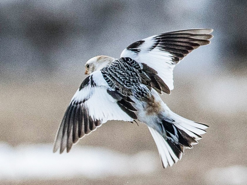 Snow Bunting - Jeremy Coleman