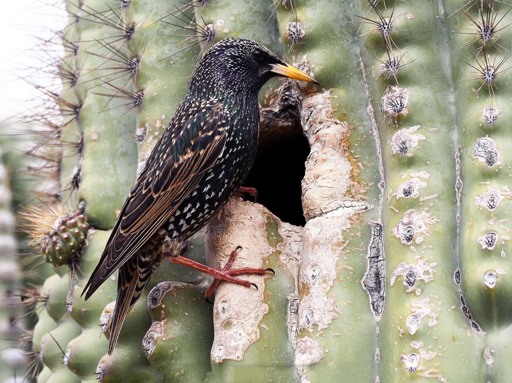 European Starling - terence zahner