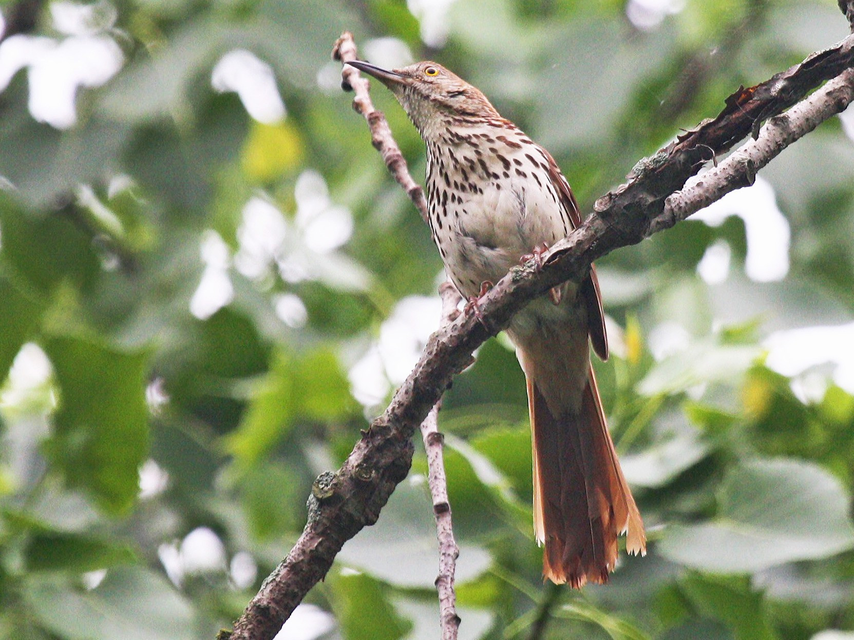 Brown Thrasher - Jon Isacoff
