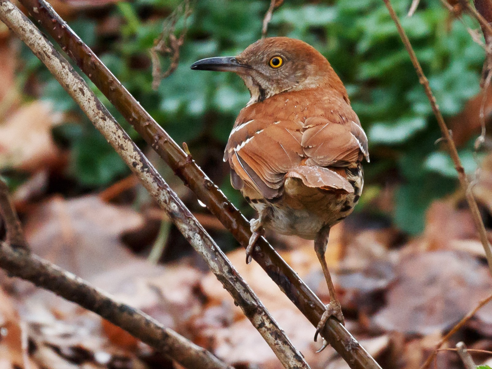 Brown Thrasher - Simon Best