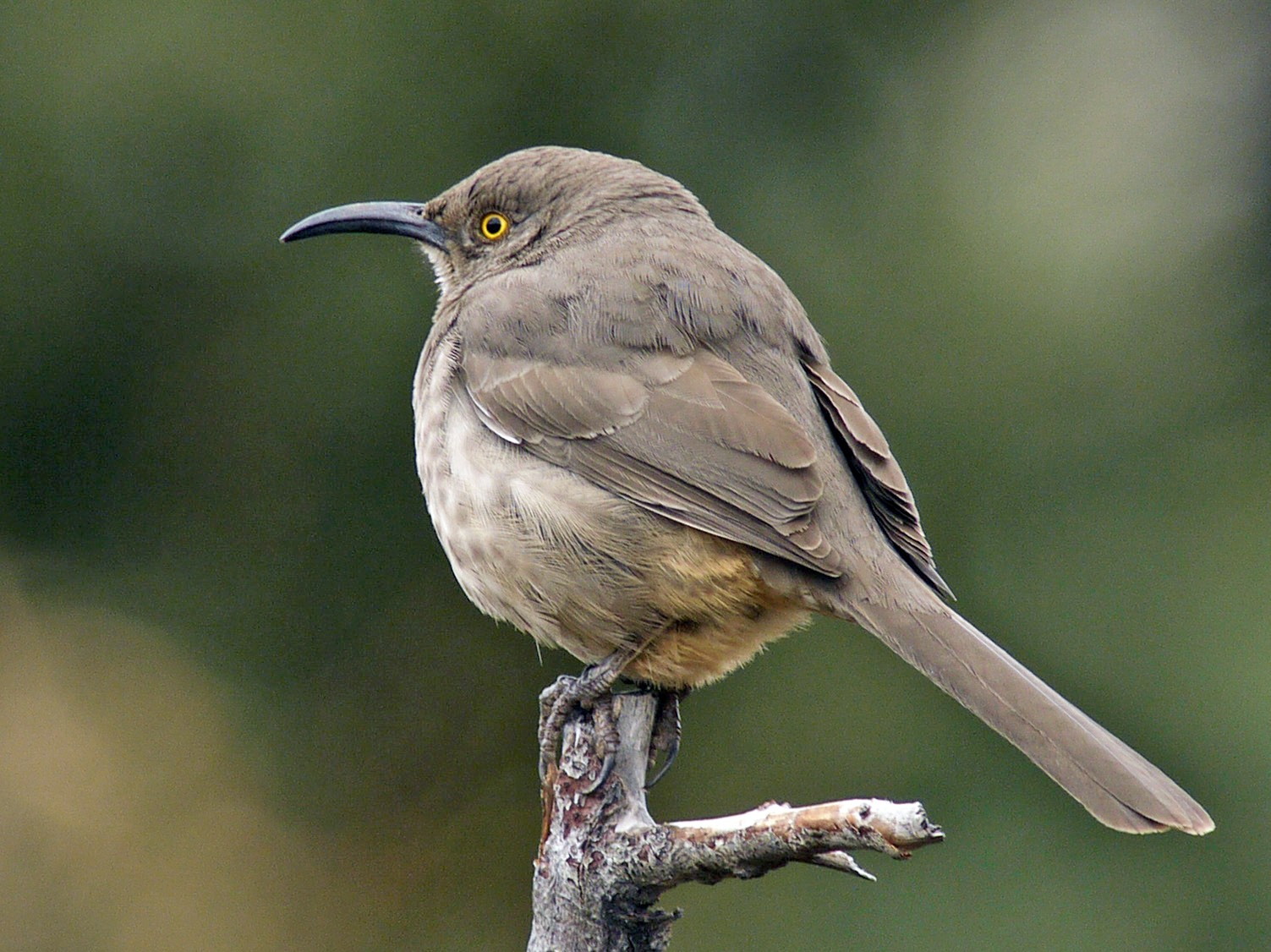 Curve-billed Thrasher - Dale Bonk