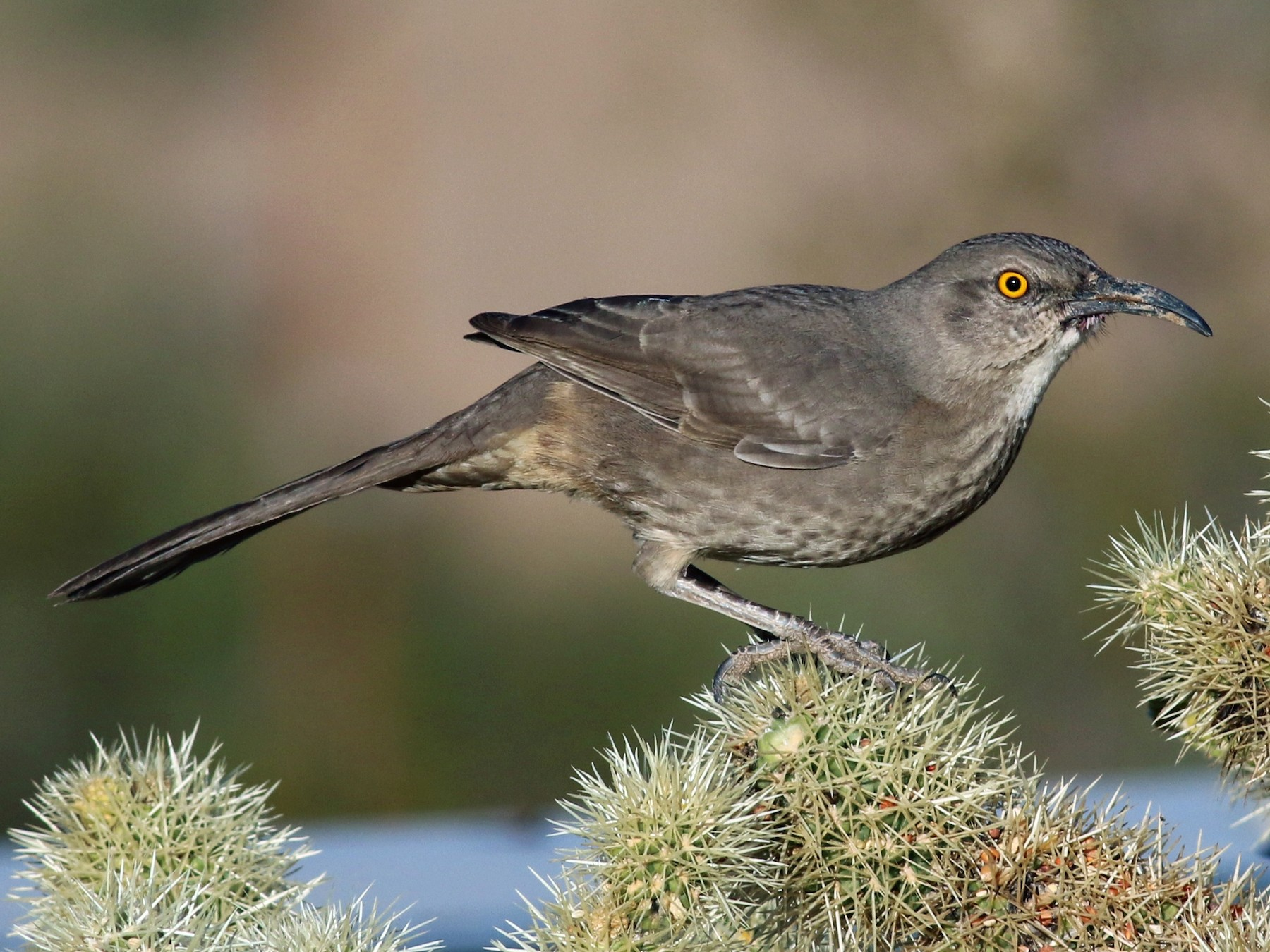 Curve-billed Thrasher - Tom Benson