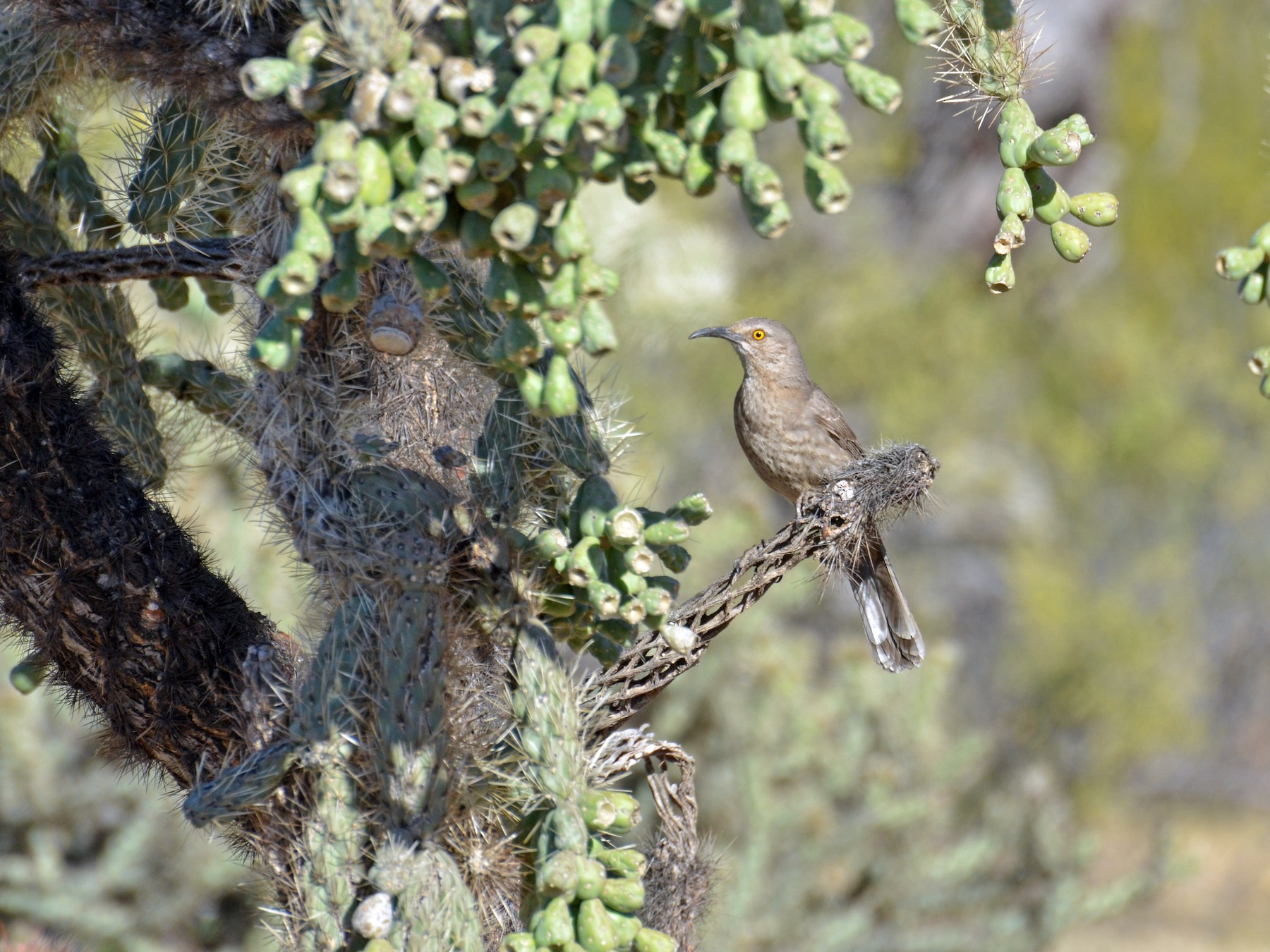 Curve-billed Thrasher - Tristan Herwood