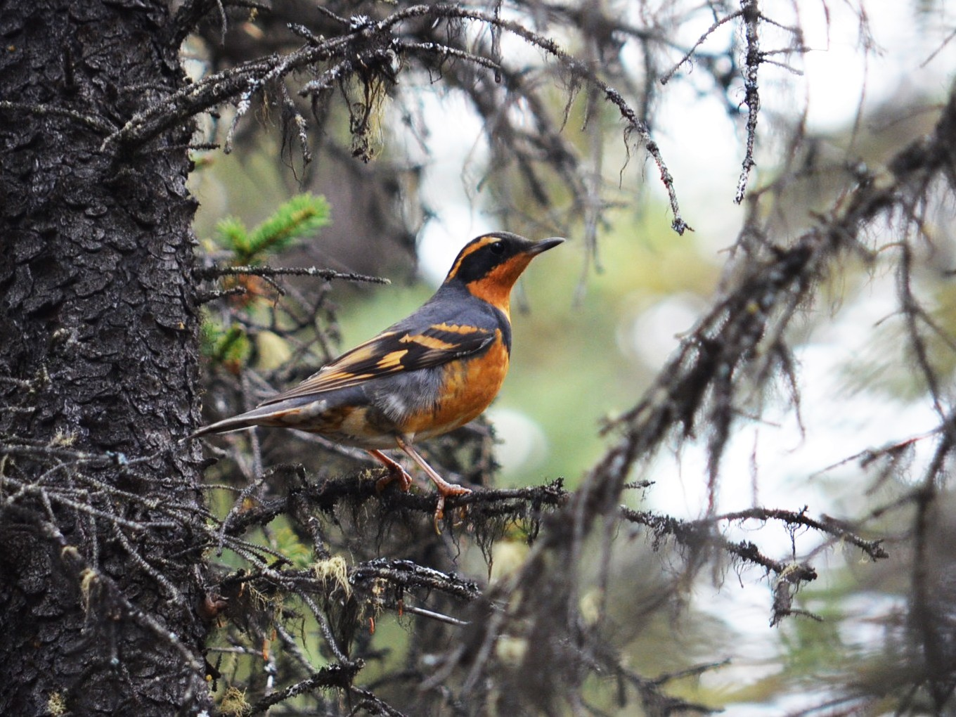 Varied Thrush - Ben Phalan
