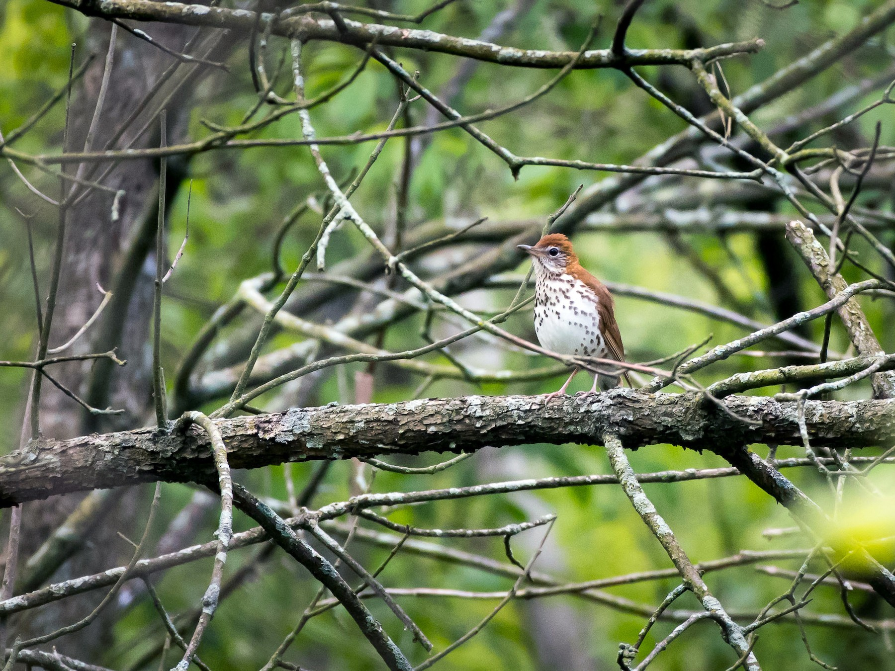 Wood Thrush - Charles Shields