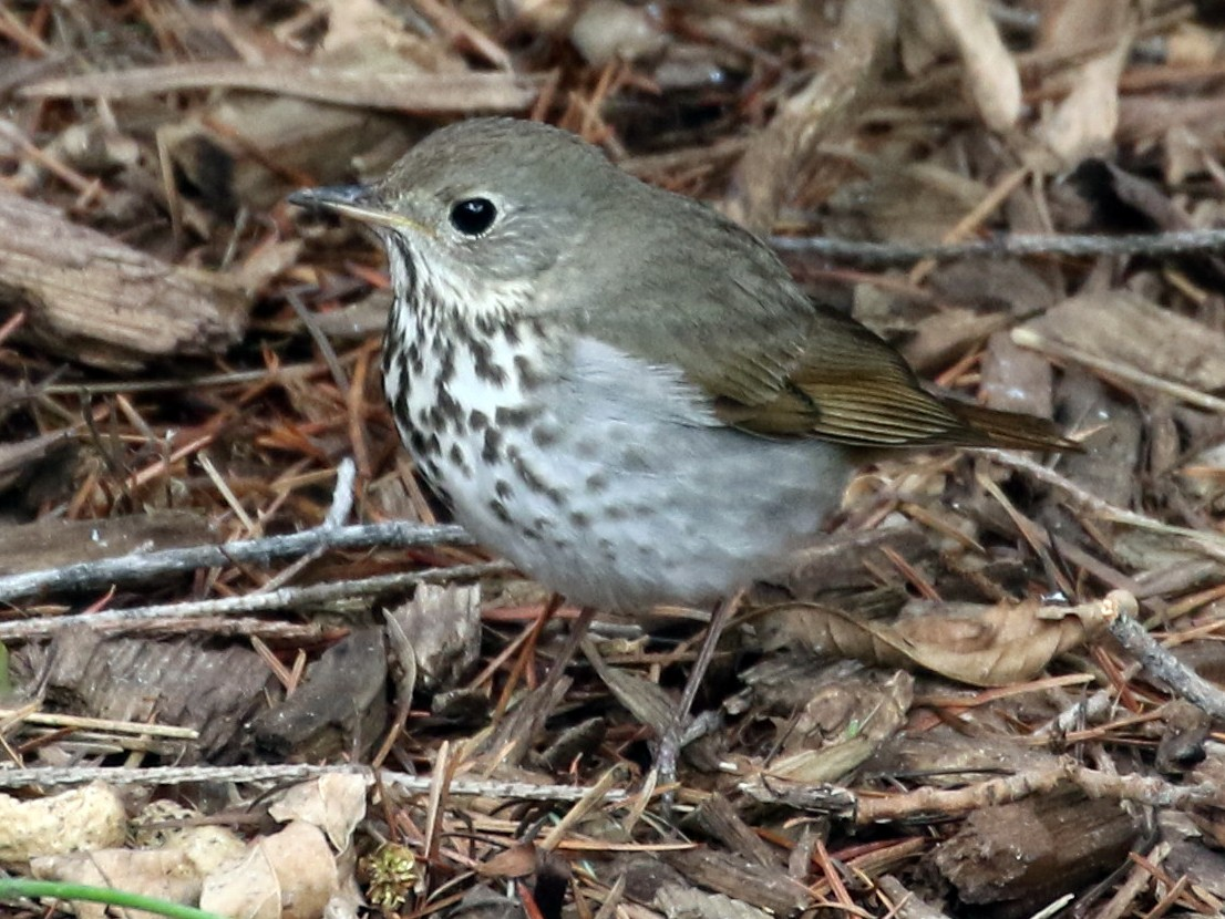Hermit Thrush - Mark Chavez