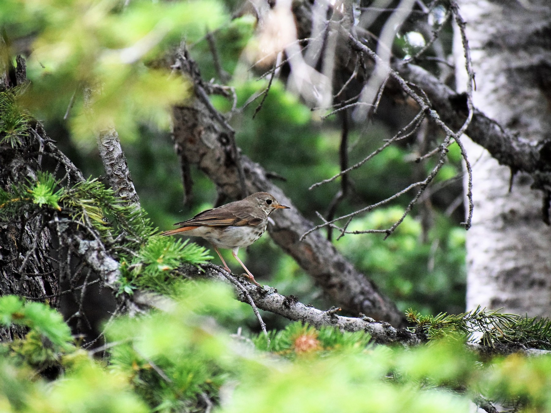 Hermit Thrush - James McCall