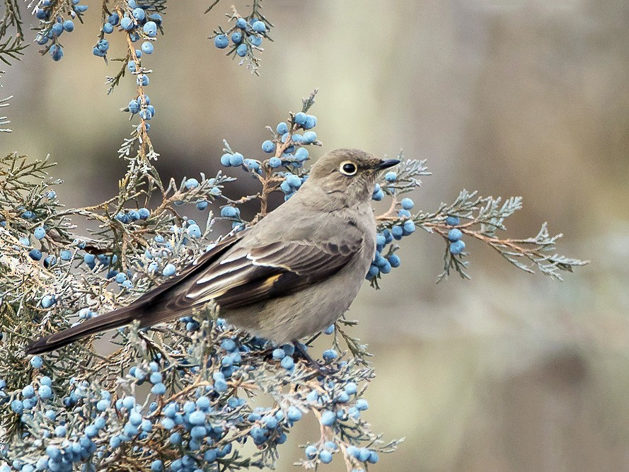 Townsend's Solitaire - Anonymous eBirder