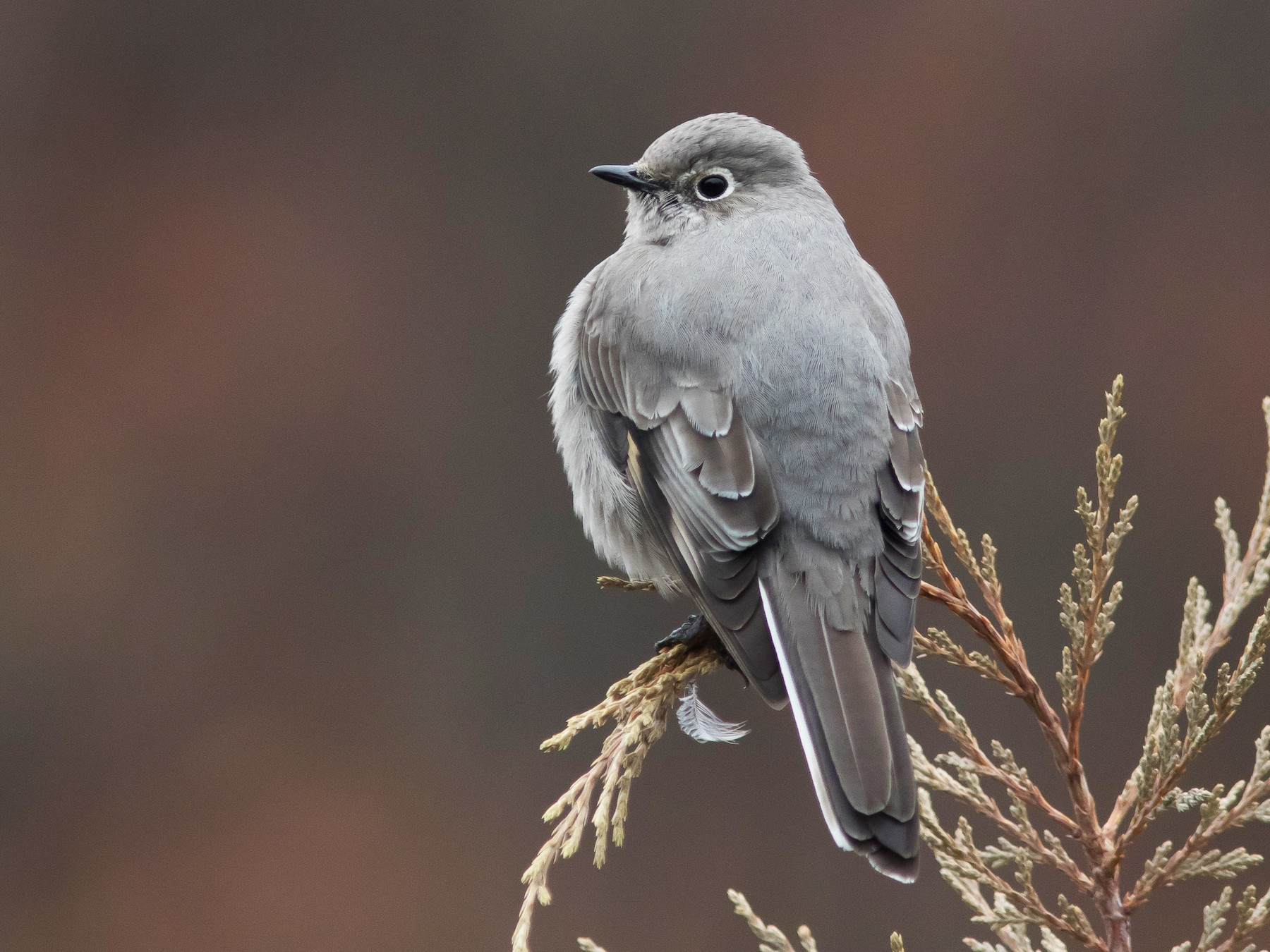 Townsend's Solitaire - Jesse Amesbury