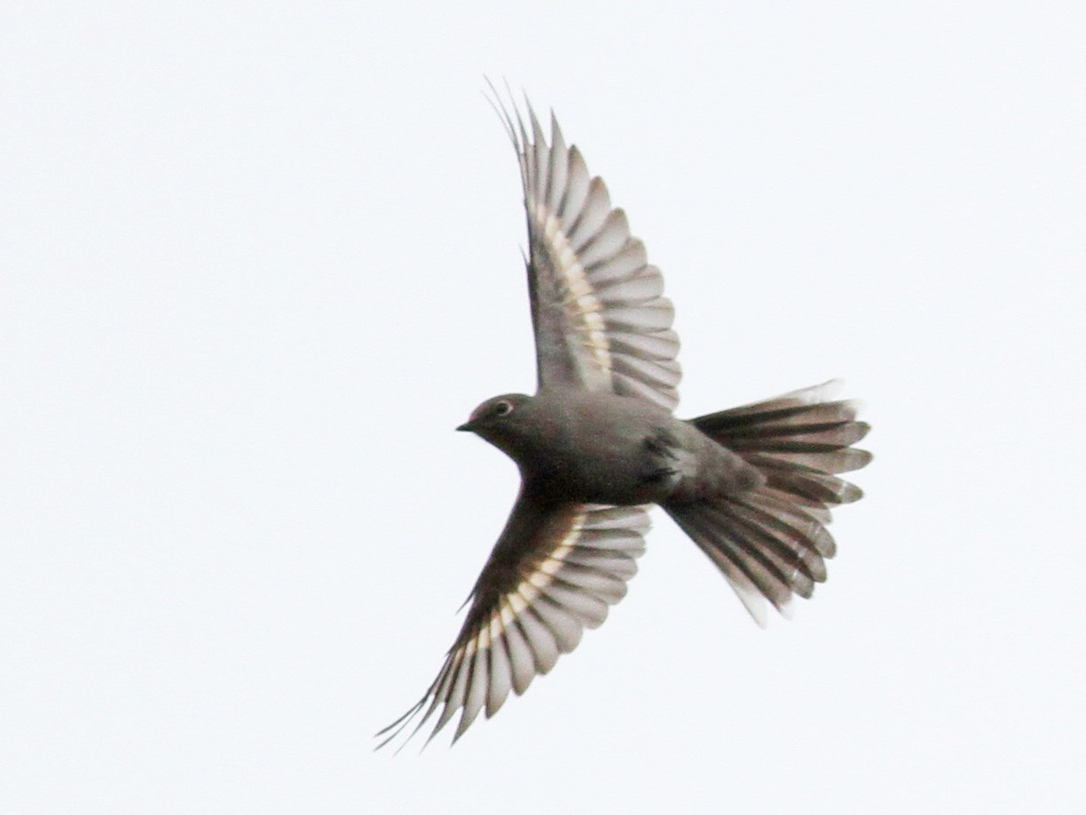 Townsend's Solitaire - Jay McGowan