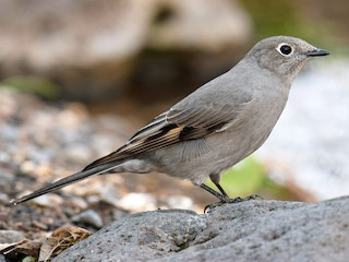 - Townsend's Solitaire