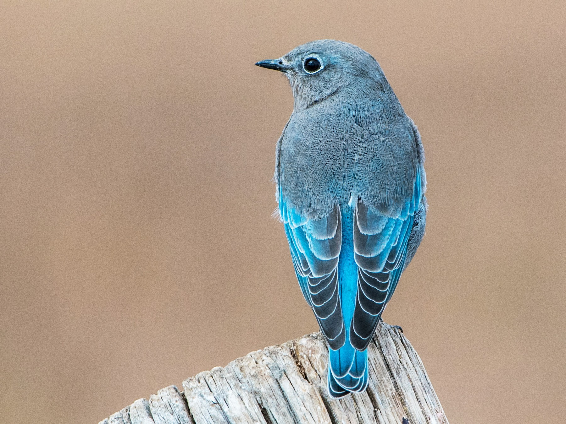 Mountain Bluebird - Jay Langford