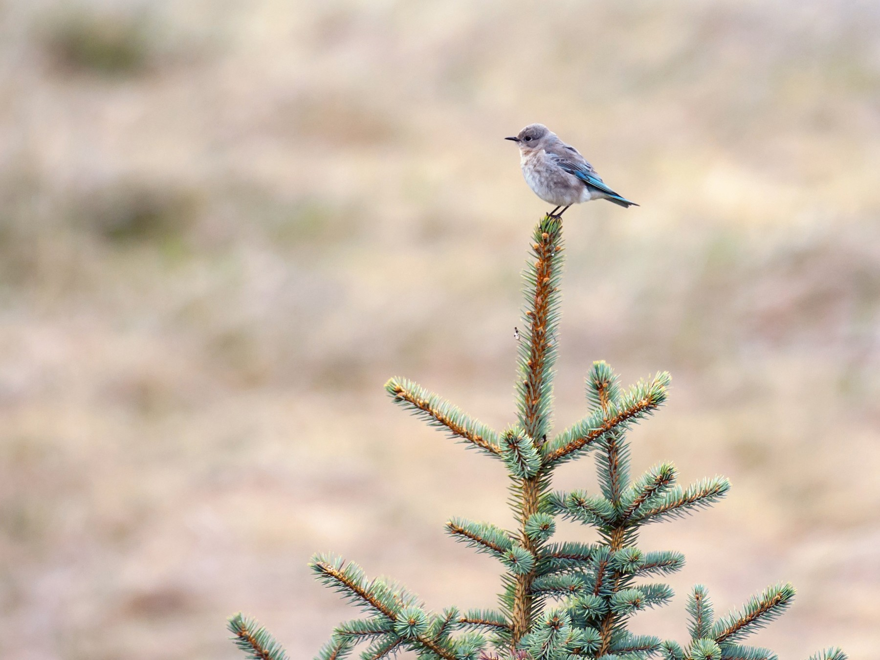 Mountain Bluebird - K F
