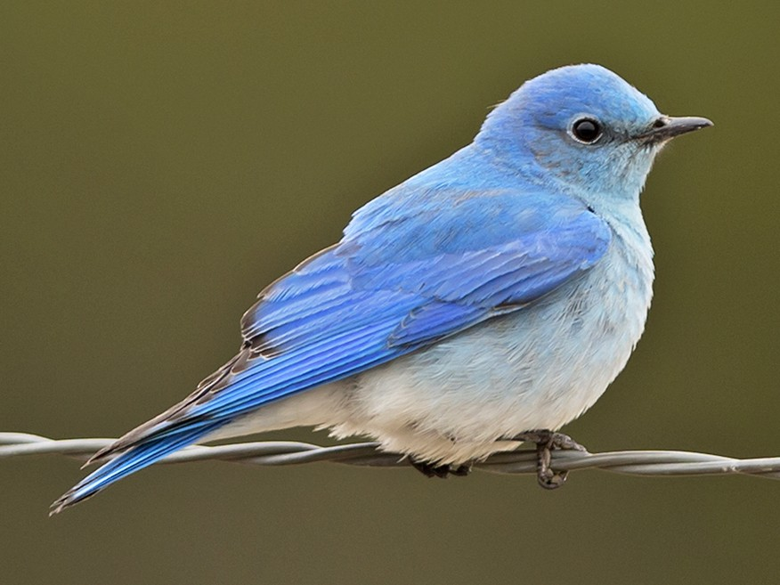 Mountain Bluebird - Joshua Covill
