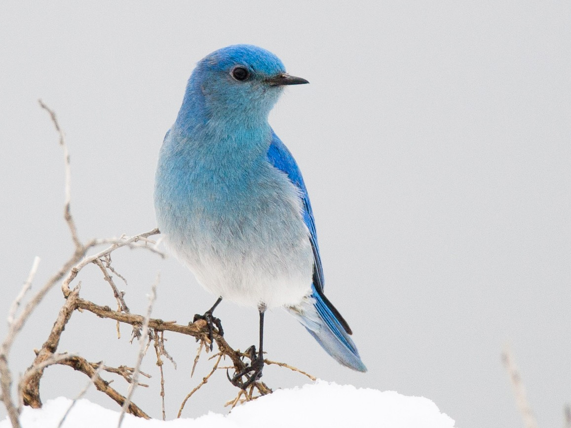 Mountain Bluebird - Chris Wood